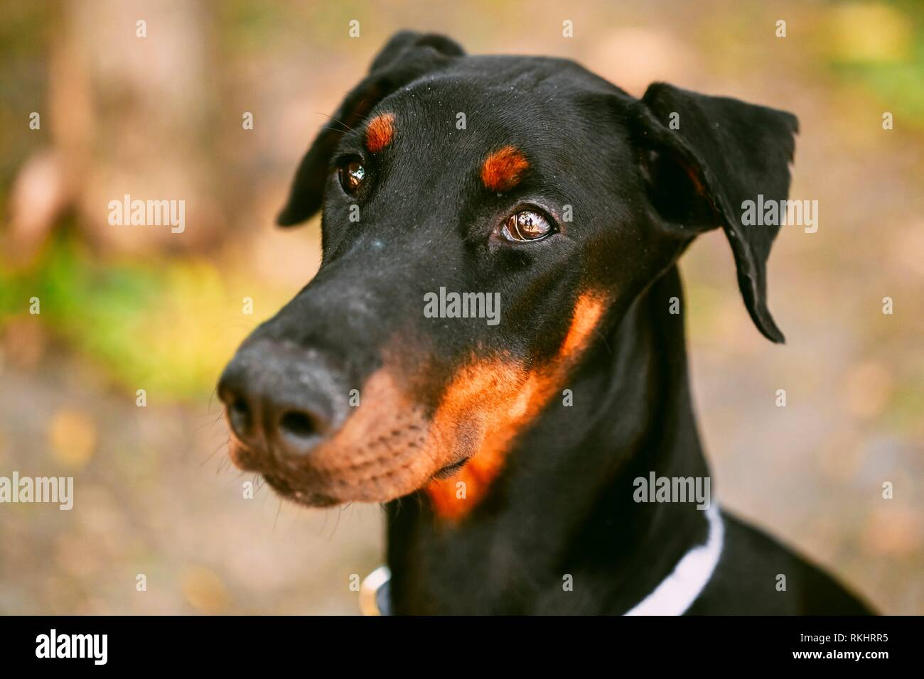 Young, Beautiful, Black And Tan Doberman. Dobermann Is Breed Known For Being Intelligent, Alert, And Loyal Companion Dogs. - Stock Image