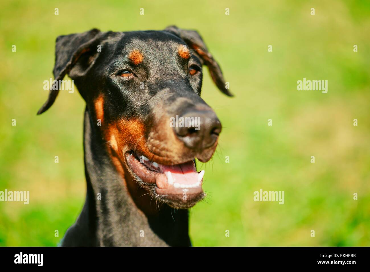 Young, Beautiful, Black And Tan Doberman Standing On The Lawn. Dobermann Is A Breed Known For Being Intelligent, Alert, And Loyal Companion Dogs. - Stock Image