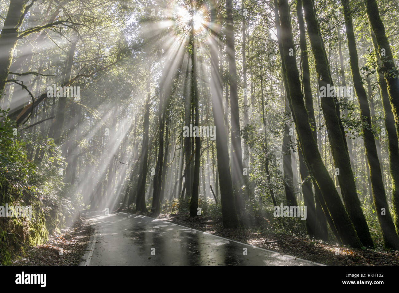 Morning sunbeams through Coast Redwoods. Stock Photo
