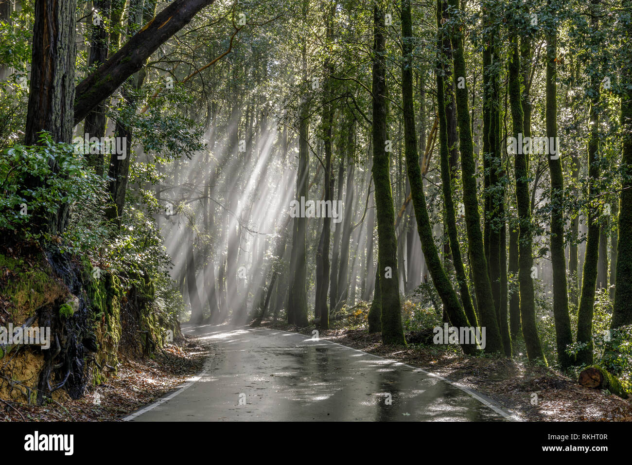 Morning sunbeams through Coast Redwoods. - Stock Image