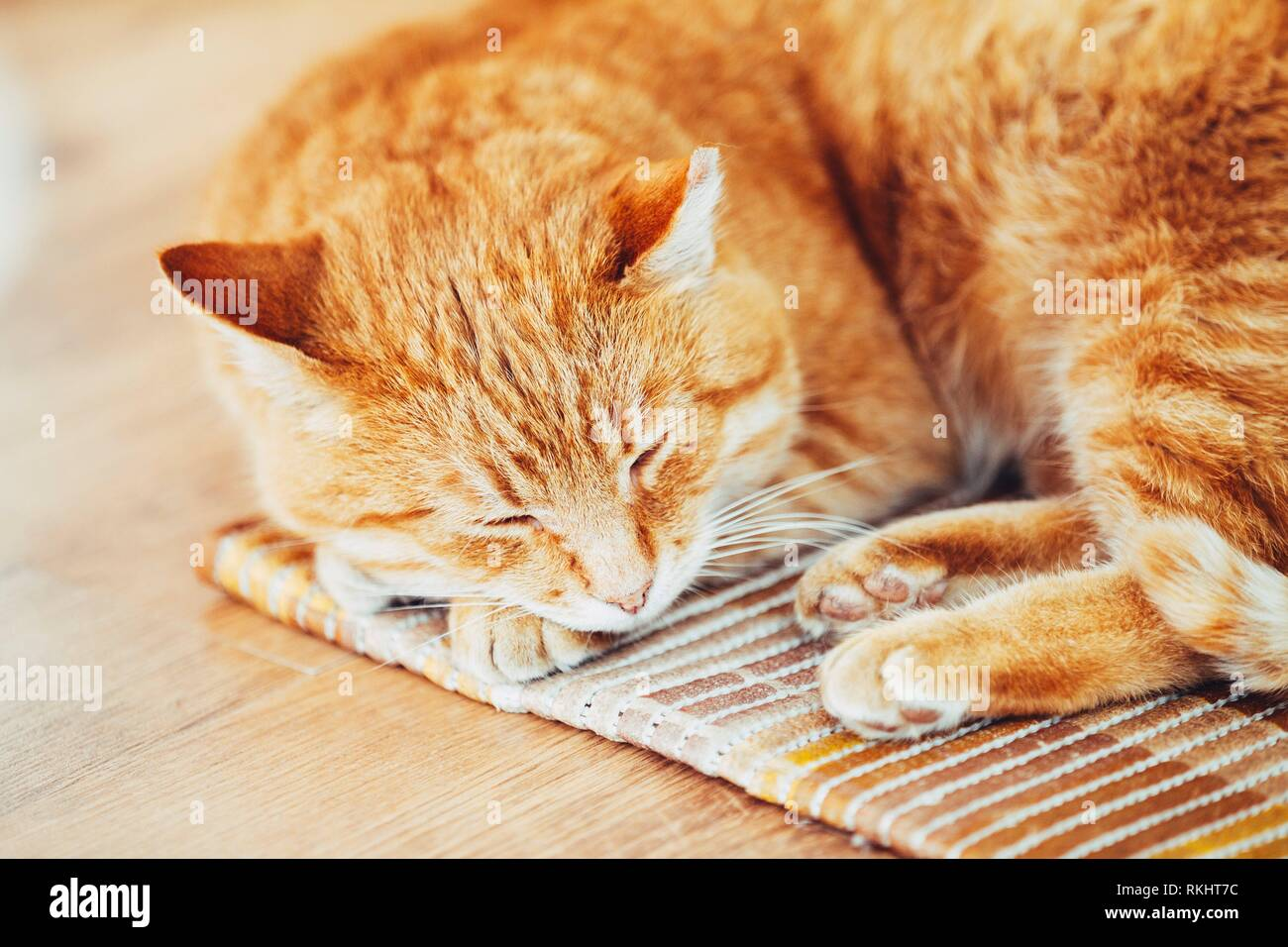 Red Tabby Cat Curled Up Sleeping In His Bed On Laminate Floor. - Stock Image