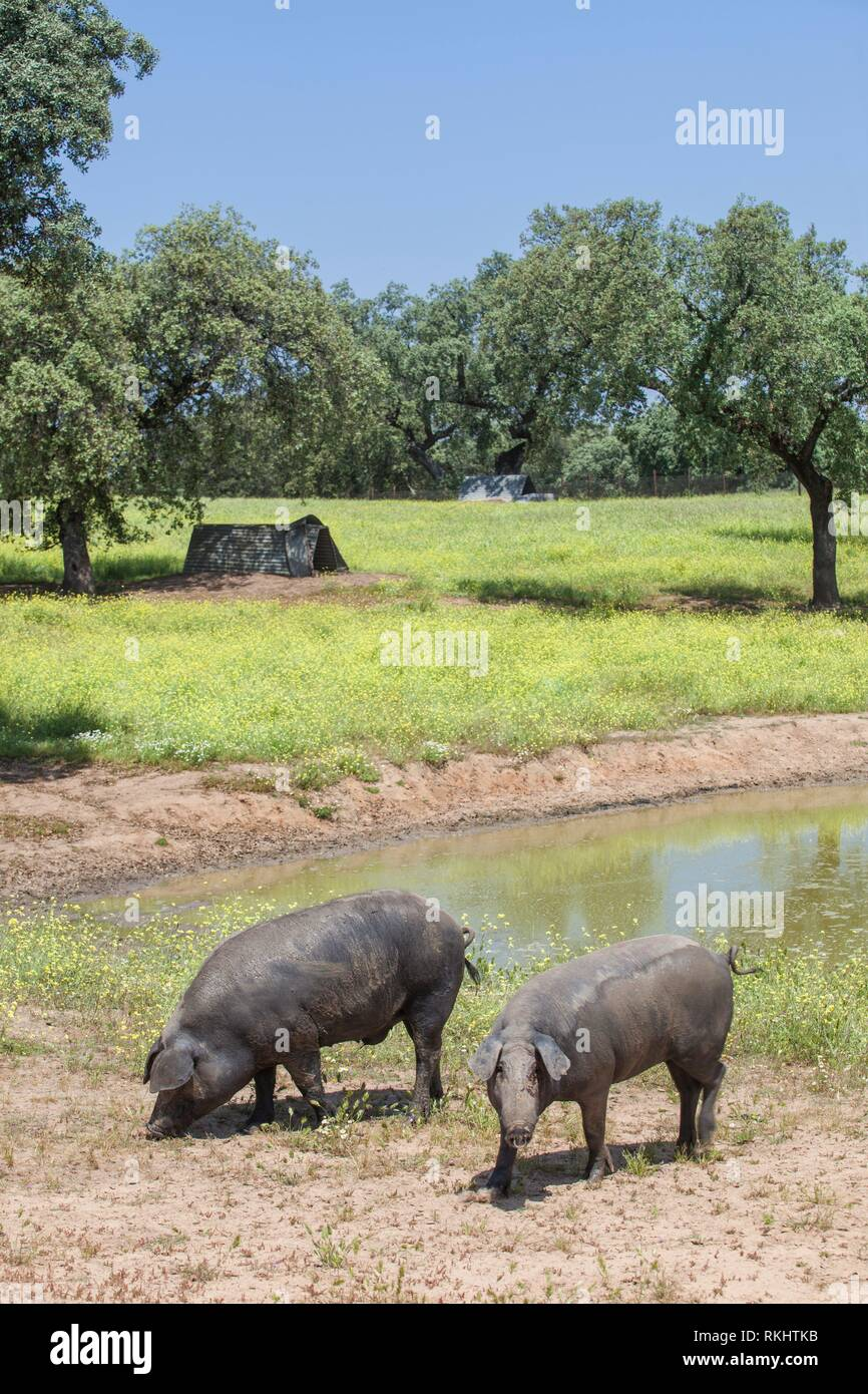 Ranged freeley black iberian pigs in springtime. Hairless breed of iberian pigs. Extremadura, Spain. - Stock Image