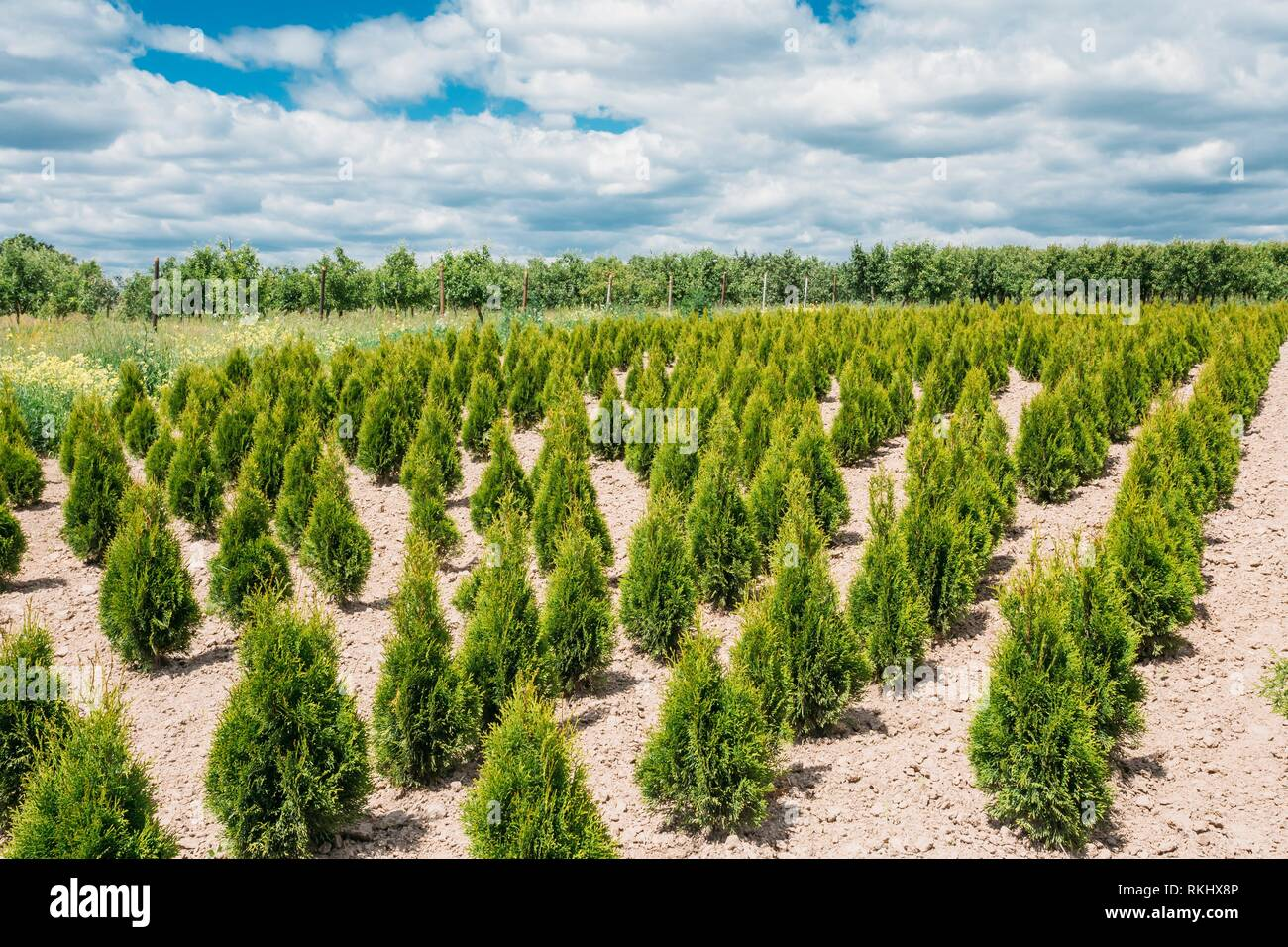 Gomel, Belarus. The Summer Spring Plantation Of Thuja Or Thuya Seedlings, Planted Rows On Sandy Soil. Coniferous Small Bushes. The Forest Background. - Stock Image