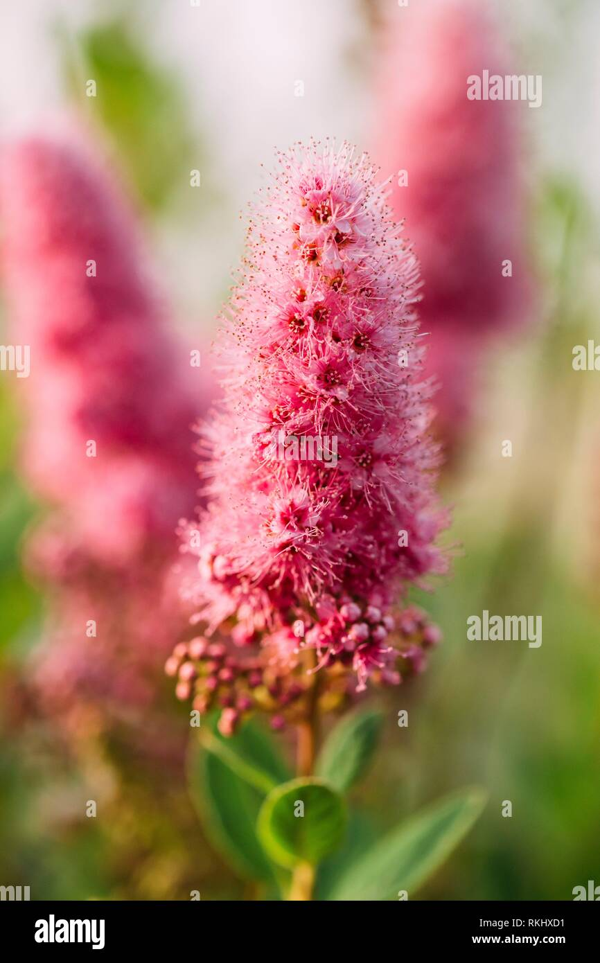 Pink Spirea Flowers On Bush At Spring. Spiraea Flowers Are Highly Valued In Decorative Gardening And Forestry Management. The Plant Is Widely Used In - Stock Image