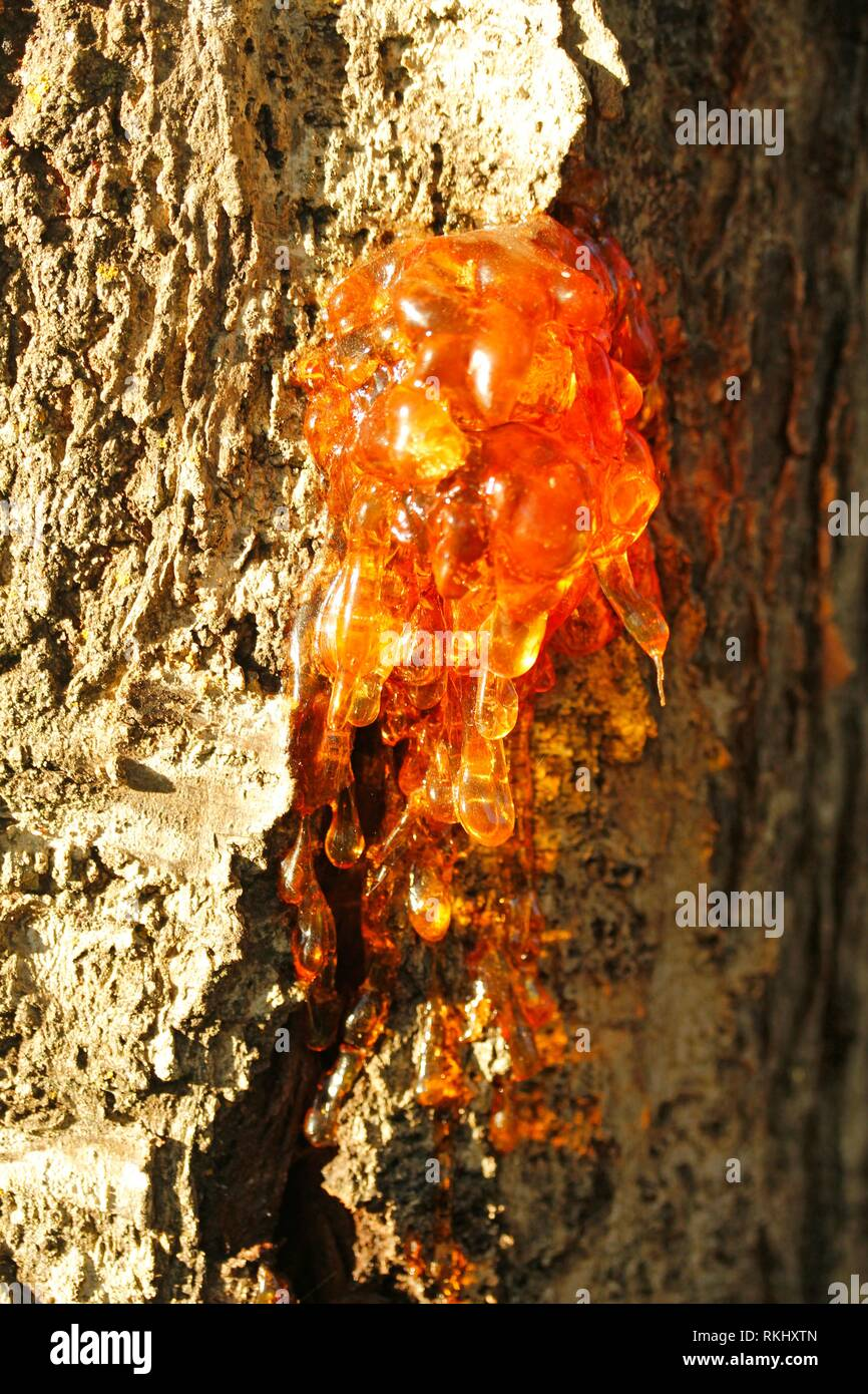 Gummosis. Resin on a cherry tree trunk. - Stock Image