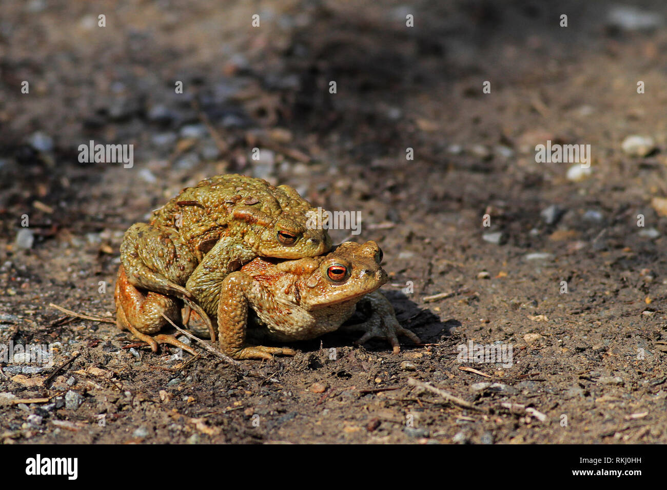 toads mating on the way to the pond - Stock Image