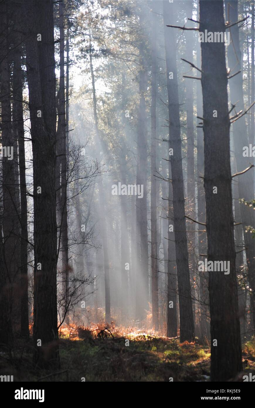 Suns Ray's beaming through the trees in a forest Ray's of light striking the forest floor in a very dramatic fashion. - Stock Image