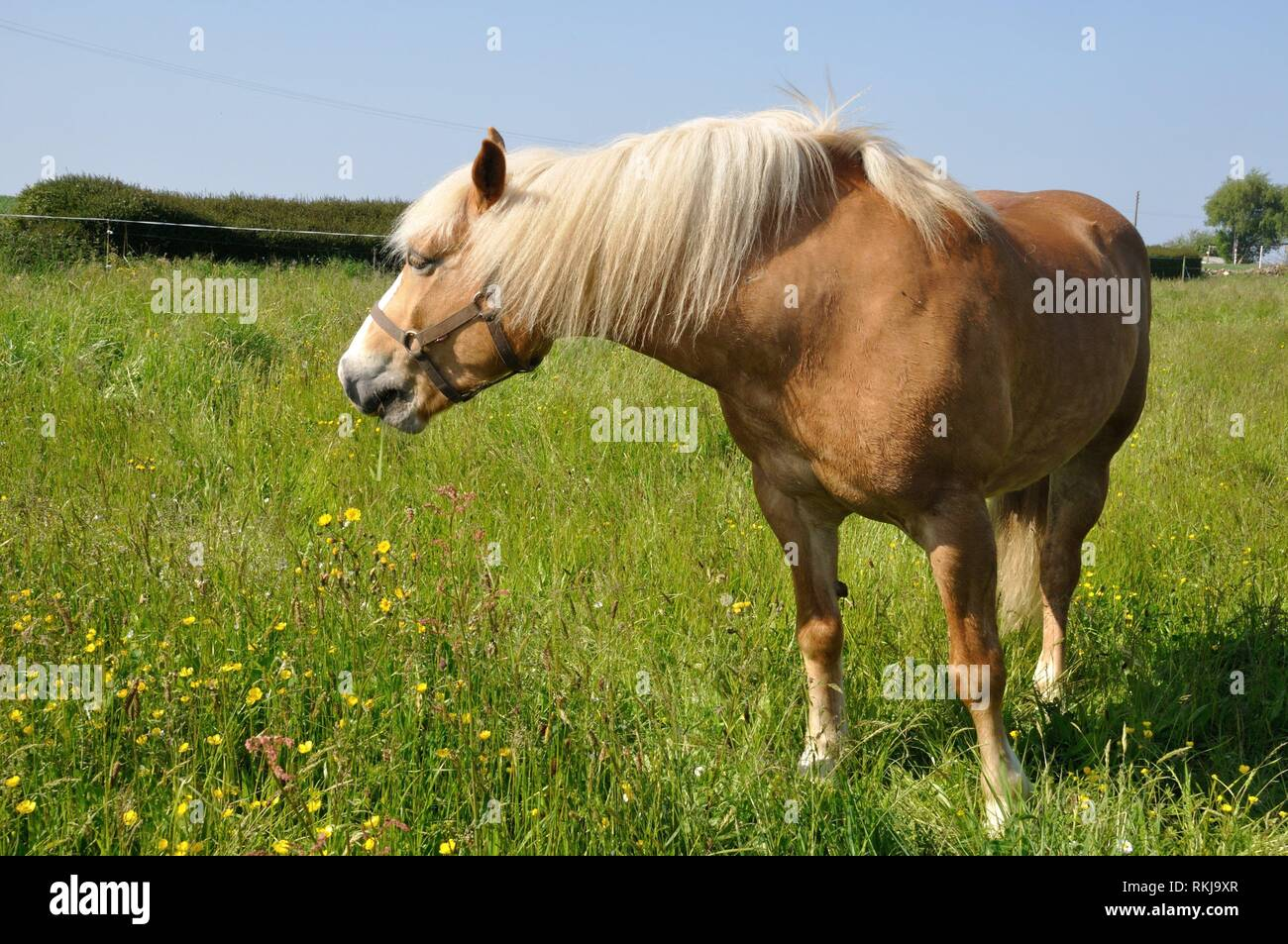 Horse in a meadow in Brittany. - Stock Image
