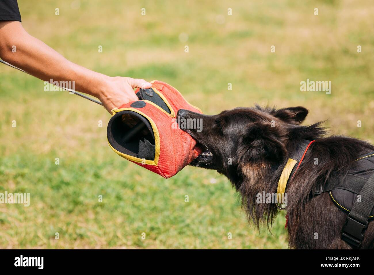 The Scene Of Training Of Purebred Long-Haired German Shepherd Adult Dog Or Alsatian Wolf Dog. Attack And Strong Grip To Training Glove Of Trainer. - Stock Image