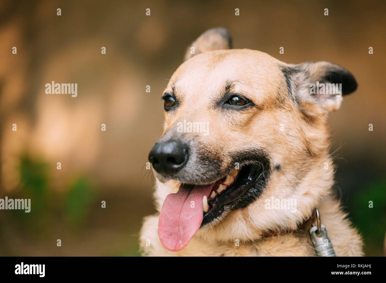 Close Up Of Medium Size Mongrel Mixed Breed Short-Haired Yellow Adult Female Dog With Tongue In Collar On Brown Background. Stock Photo