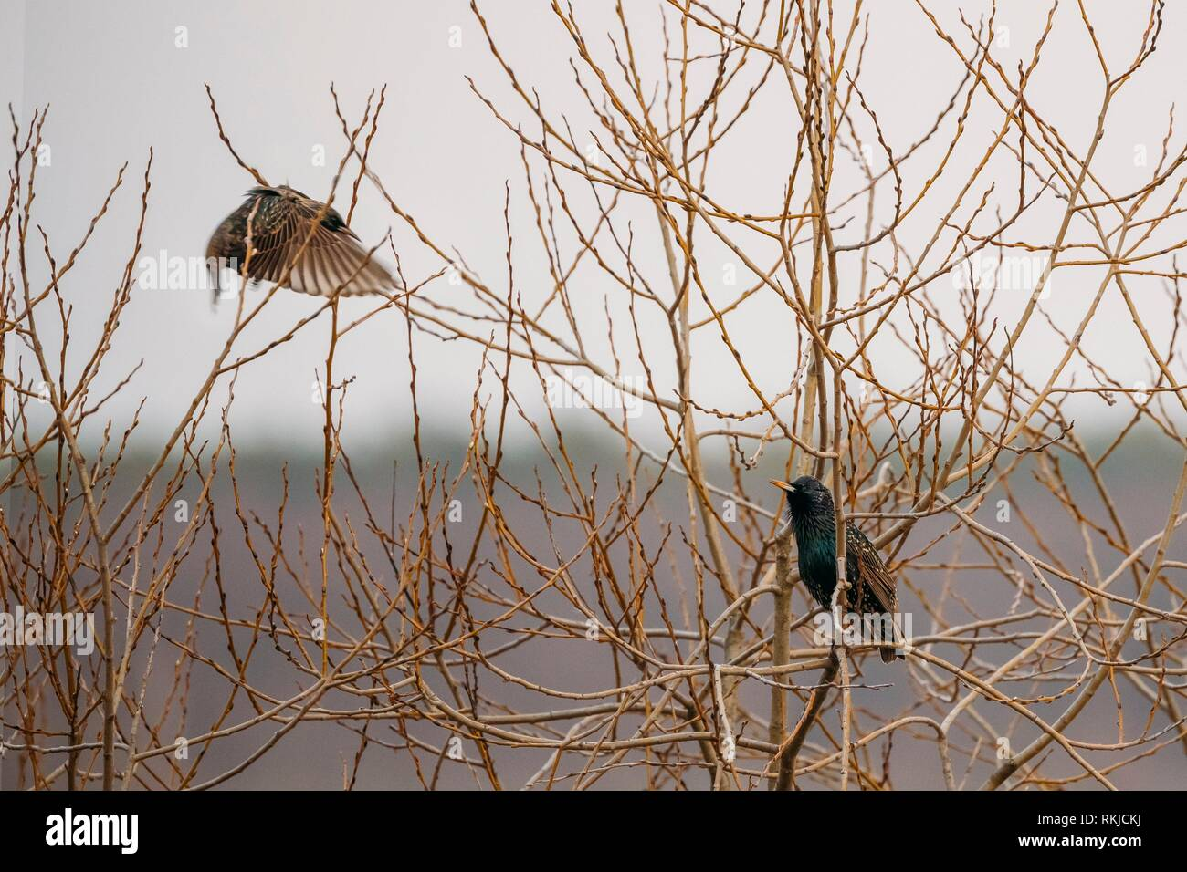 Two Wild Forest Birds Common Starling Sitting In Branch Tree In Spring Season. Belarus, Belarusian Nature, Wildlife. - Stock Image