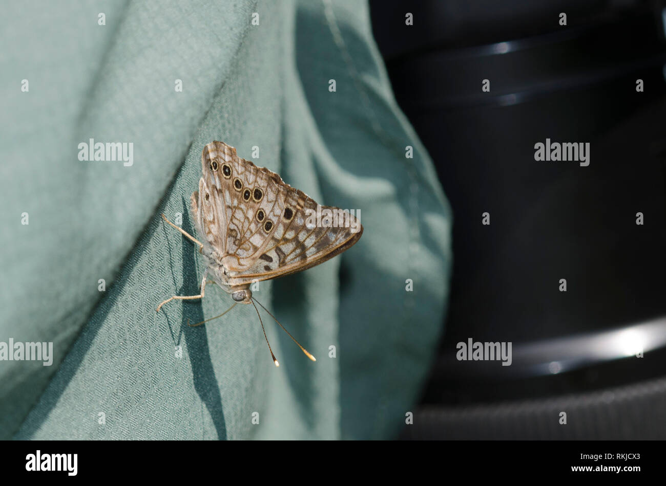 Hackberry Emperor, Asterocampa celtis, imbibing sweat from man's shirt - Stock Image