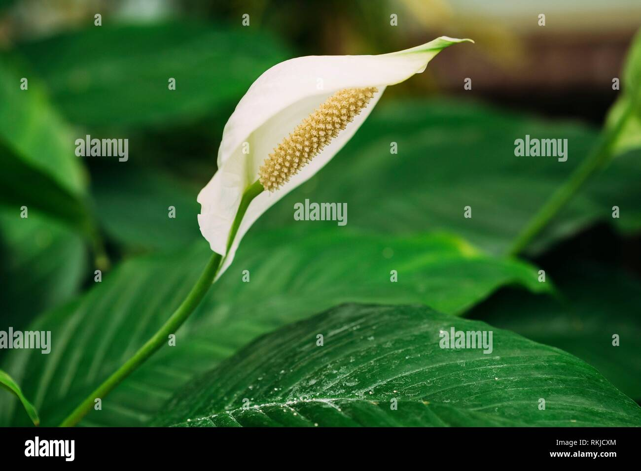 Green Leaves Of Plant Flower Spathiphyllum. It Is A Genus Of About 40 Species Of Monocotyledonous Flowering Plants In Family Araceae, Native To - Stock Image