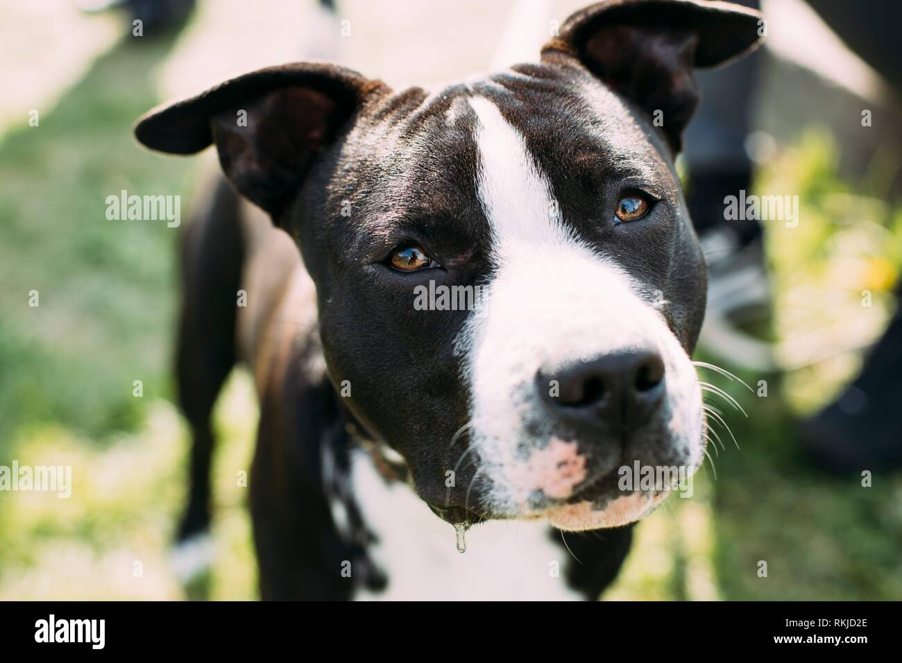 Close View Of American Staffordshire Terrier Dog. - Stock Image
