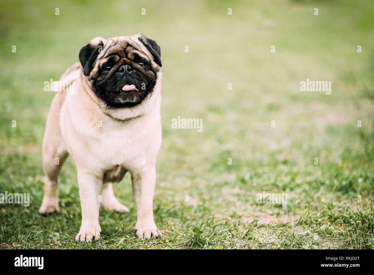 Young Pug Or Mops Standing In Green Grass. - Stock Image