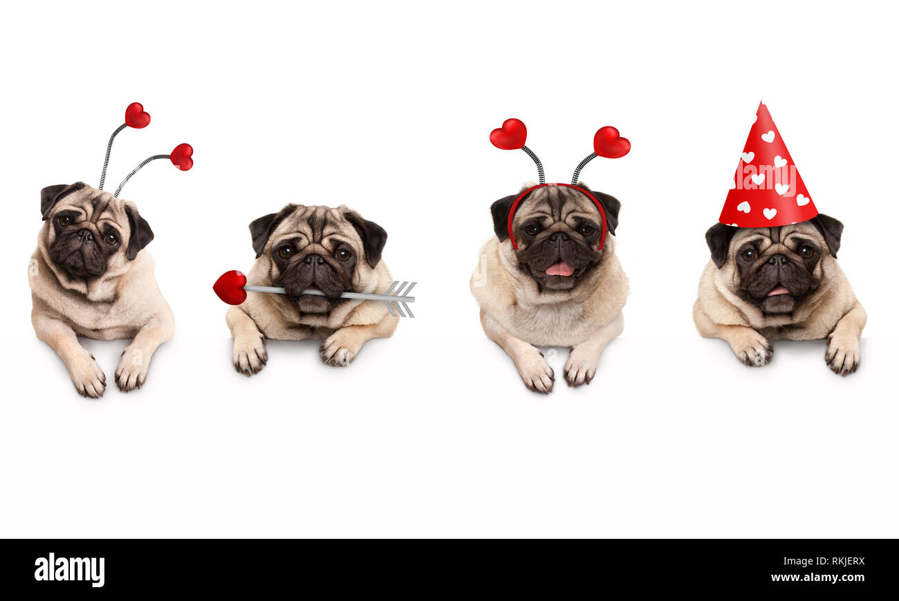 four cute Valentine love pug puppy dogs, with hearts, hanging on white banner, isolated Stock Photo