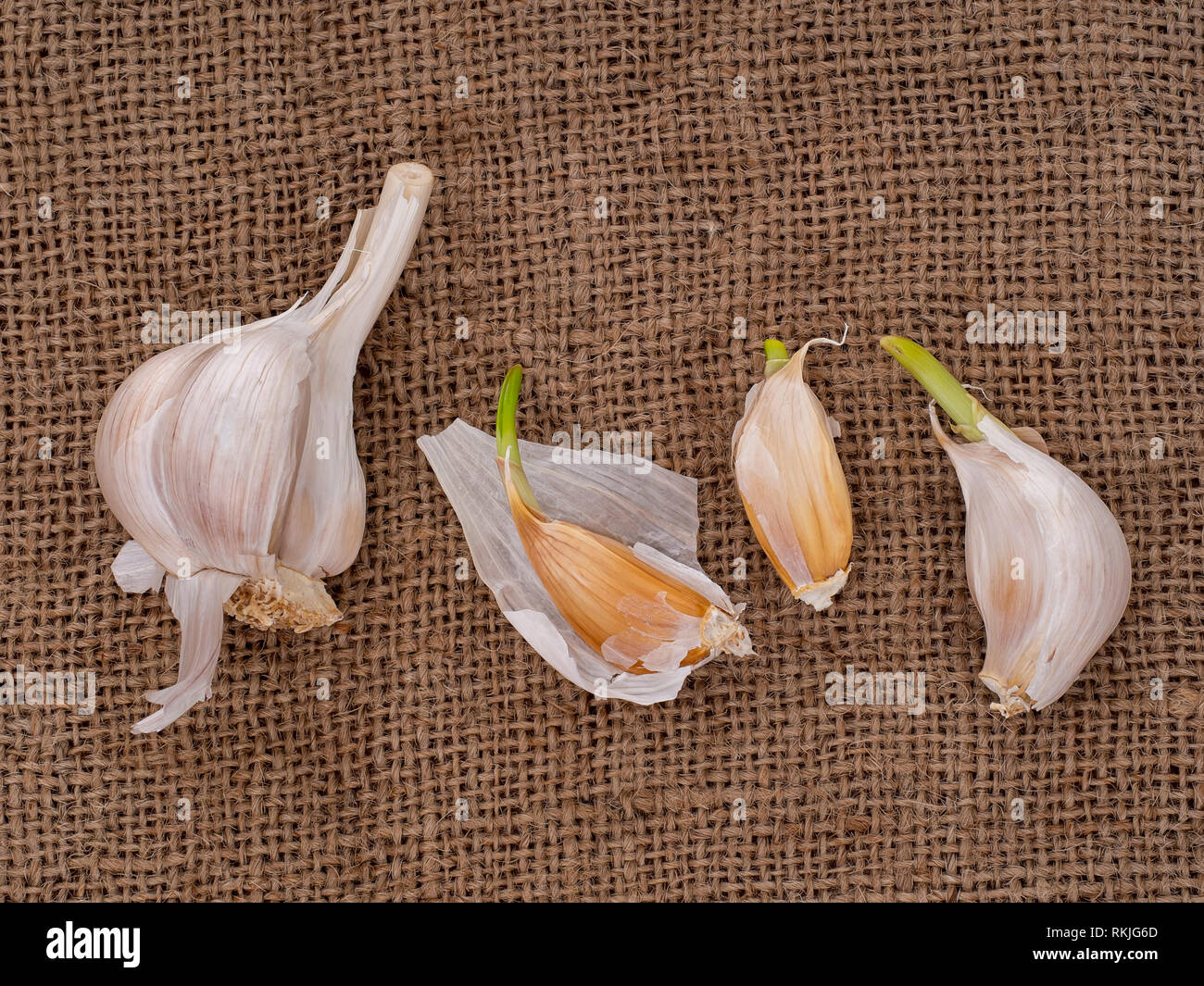 Grow your own garlic, cloves growing on hessian background. Gardening, horticulture. - Stock Image