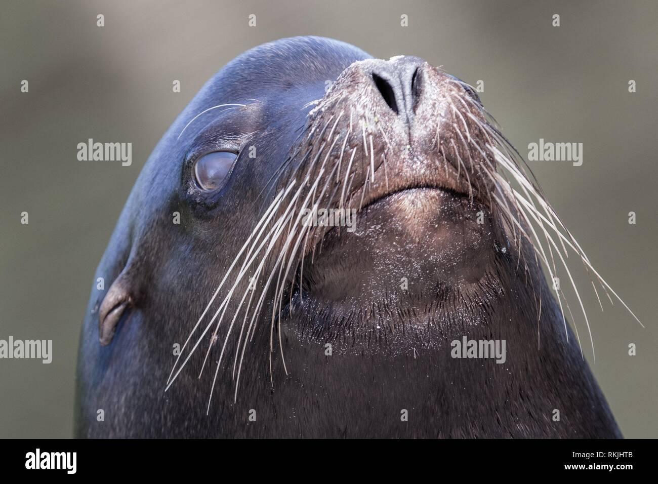 Sea lion closeup - Selective focus on the eye. - Stock Image