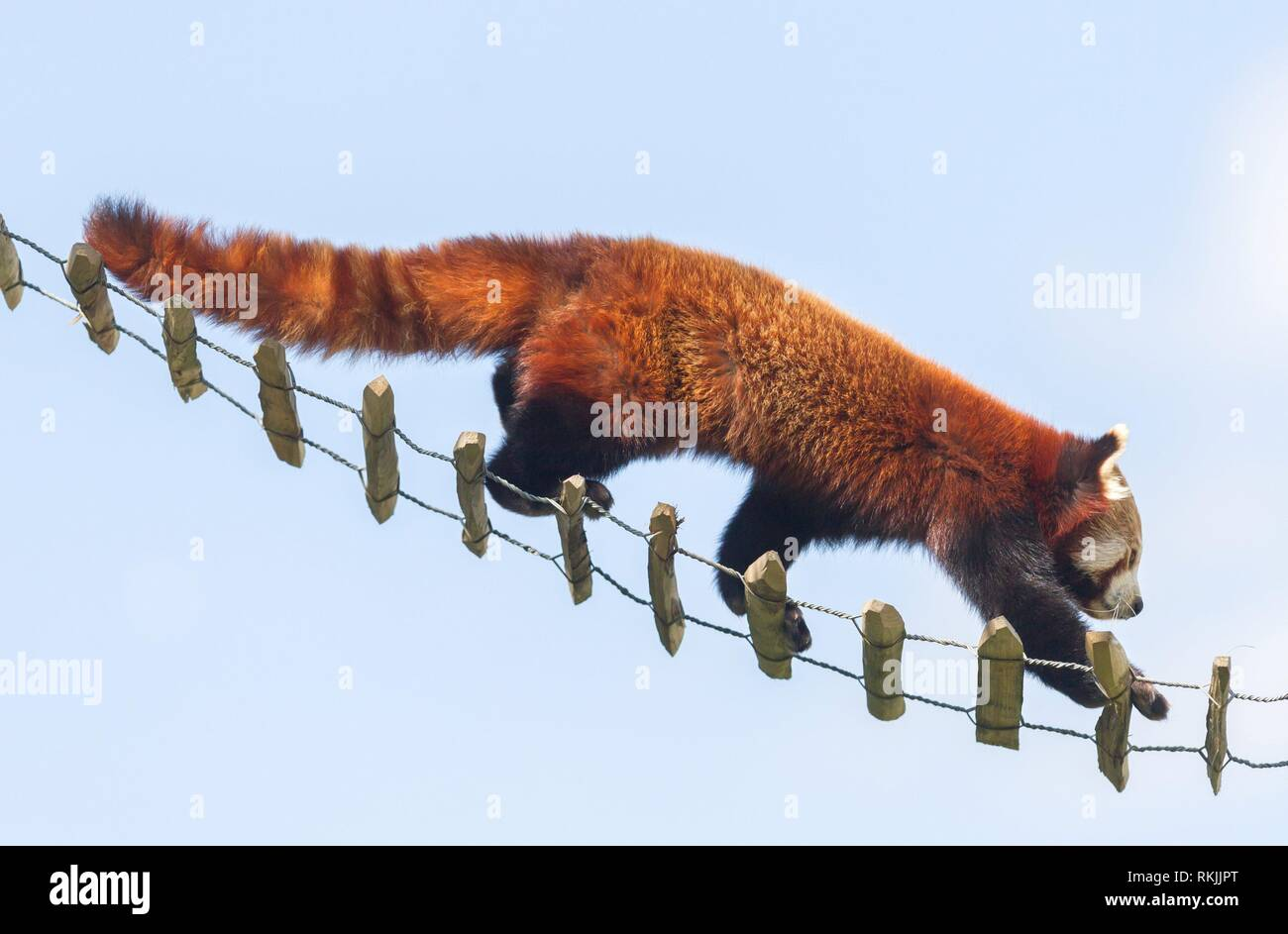 Red panda high up in the trees - Awake. - Stock Image