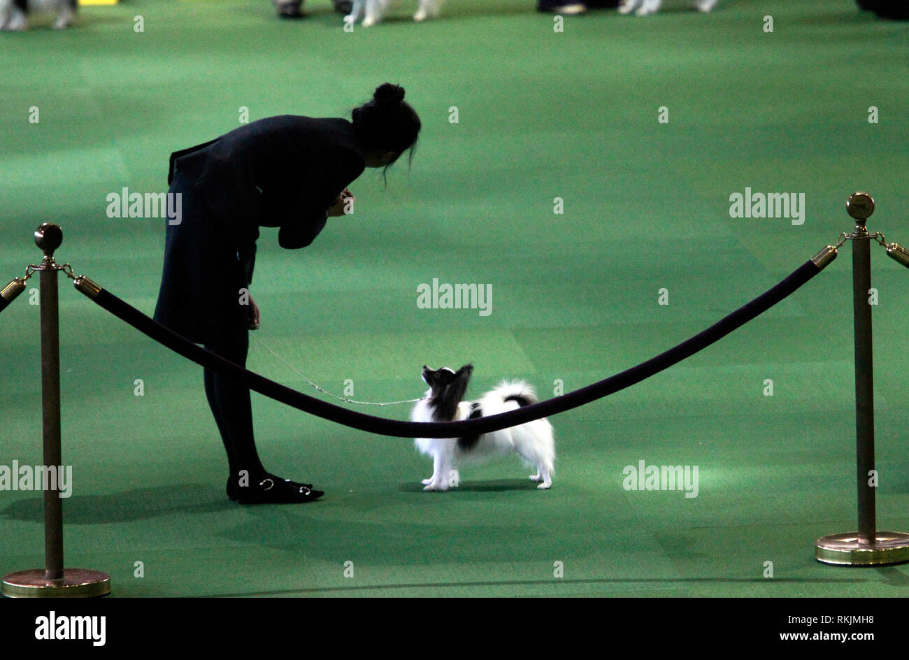 New York, United States. 11th Feb, 2019. Westminster Dog Show - New York City, 11 February, 2019: Handlers with Papillion breed dogs awaiting judging during the Best of Breed Competition at the 143rd Annual Westminster Dog Show. Credit: Adam Stoltman/Alamy Live News Stock Photo