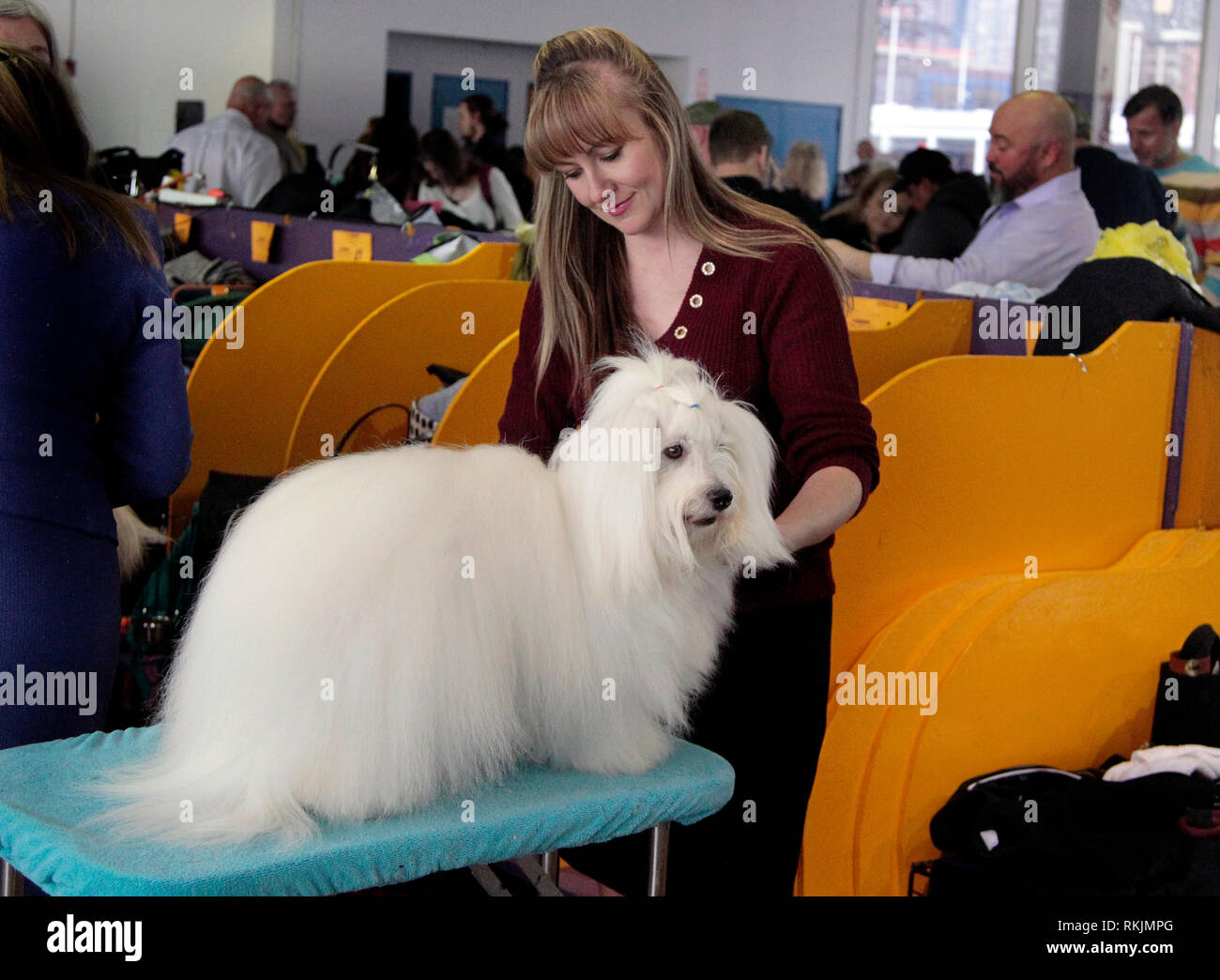 New York, United States. 11th Feb, 2019. Westminster Dog Show - New York City, 11 February, 2019: Turbo, a Coton De Tulear being groomed before the Best of Breed Competition at the 143rd Annual Westminster Dog Show in New York City. Credit: Adam Stoltman/Alamy Live News Stock Photo