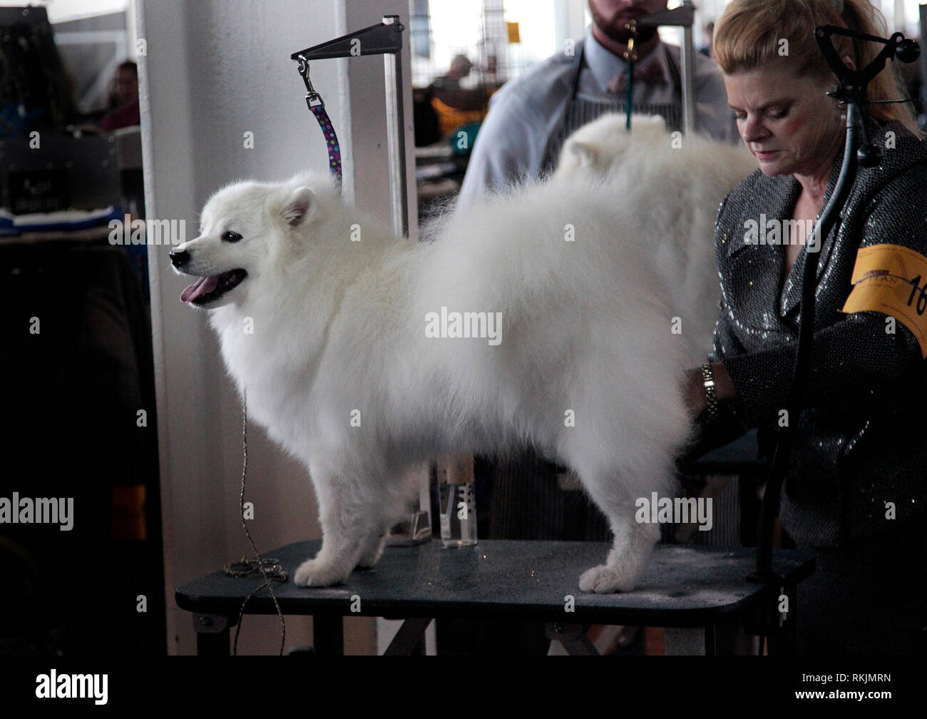 New York, United States. 11th Feb, 2019. Westminster Dog Show - New York City, 11 February, 2019: Alaskan Eskimo, Lulu being groomed before the Best of Breed Competition at the 143rd Annual Westminster Dog Show in New York City. Credit: Adam Stoltman/Alamy Live News - Stock Image