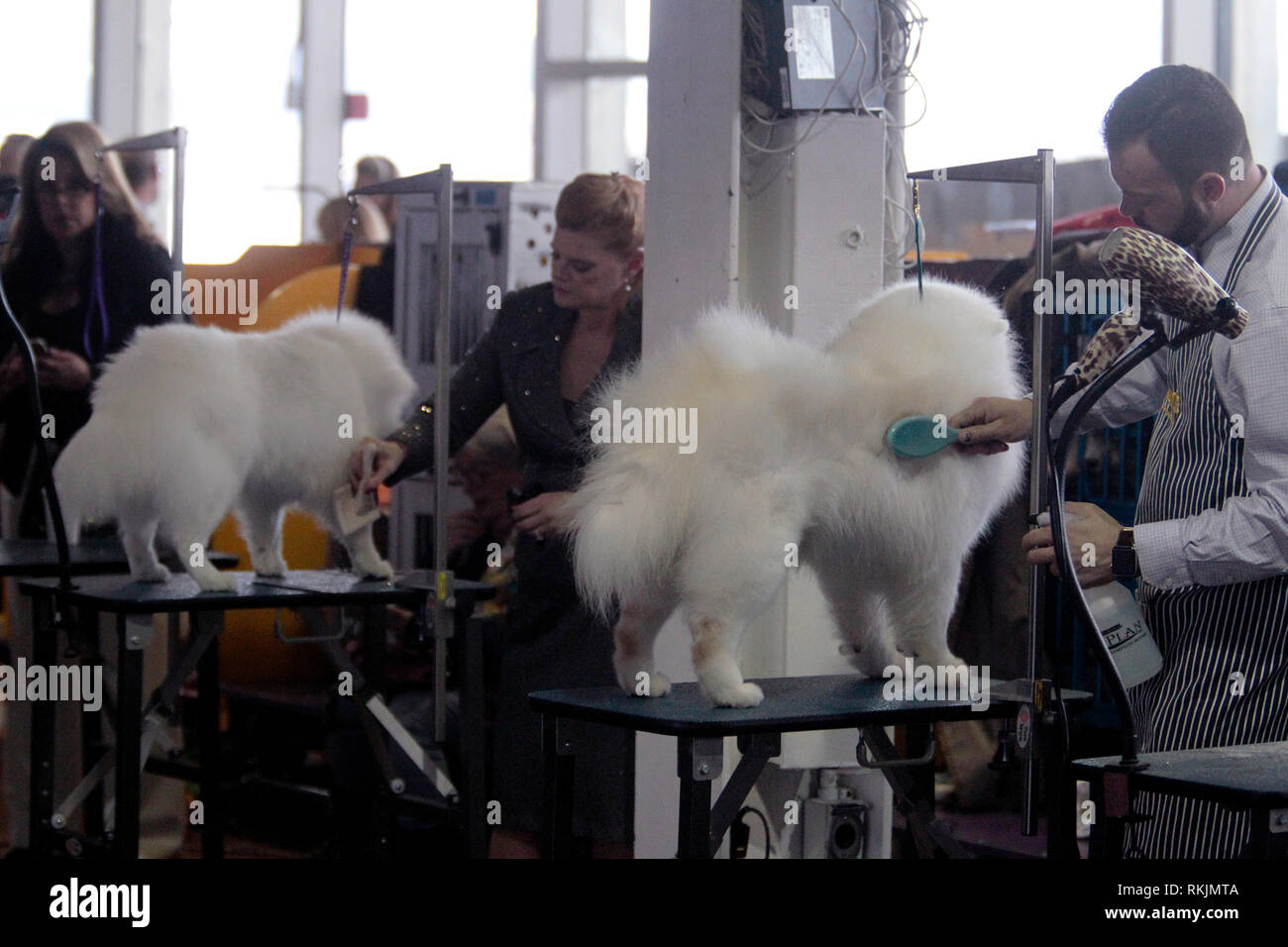 New York, United States. 11th Feb, 2019. Westminster Dog Show - New York City, 11 February, 2019: Alaskan Eskimo's Tee, in the foreground, and Lulu, in the background, being groomed before the Best of Breed Competition at the 143rd Annual Westminster Dog Show in New York City. Credit: Adam Stoltman/Alamy Live News - Stock Image