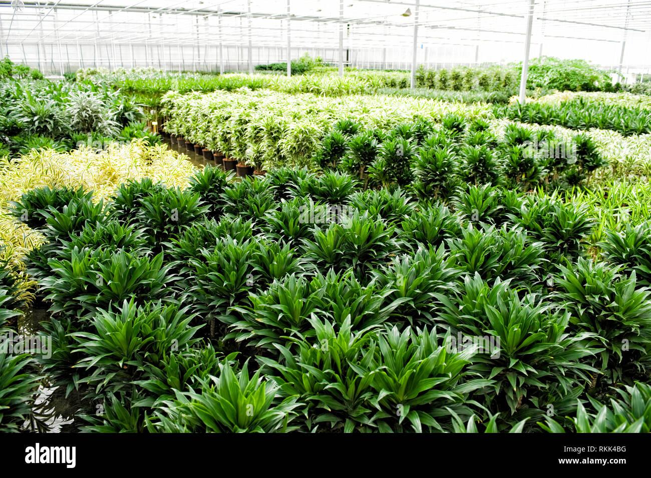 Gewaechshaus fuer Hydrokulturpflanzen das selber Energie erzeugt. Im Vordergrund stehen Dracaena Comacta Pflanzen. [ - Stock Image