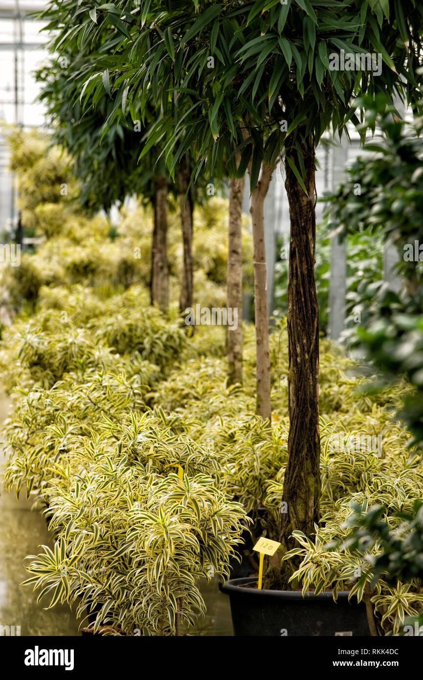Gewaechshaus fuer Hydrokulturpflanzen das selber Energie erzeugt. Die Pflanzen sind Ficus ( hohe Pflanzen ) und Pleomele ( gelb ) - Stock Image