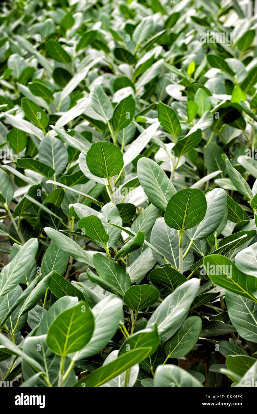 Gewaechshaus fuer Hydrokulturpflanzen das selber Energie erzeugt. Schefflera Amate - Stock Image