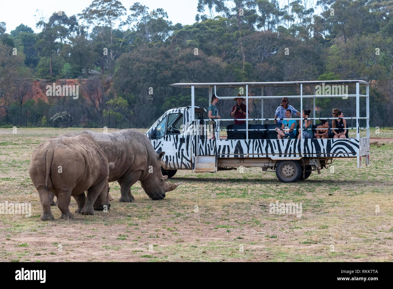 White rhinos and tourist vehicle at the Werribee Open Range Zoo.  The species is considered near threatened. - Stock Image