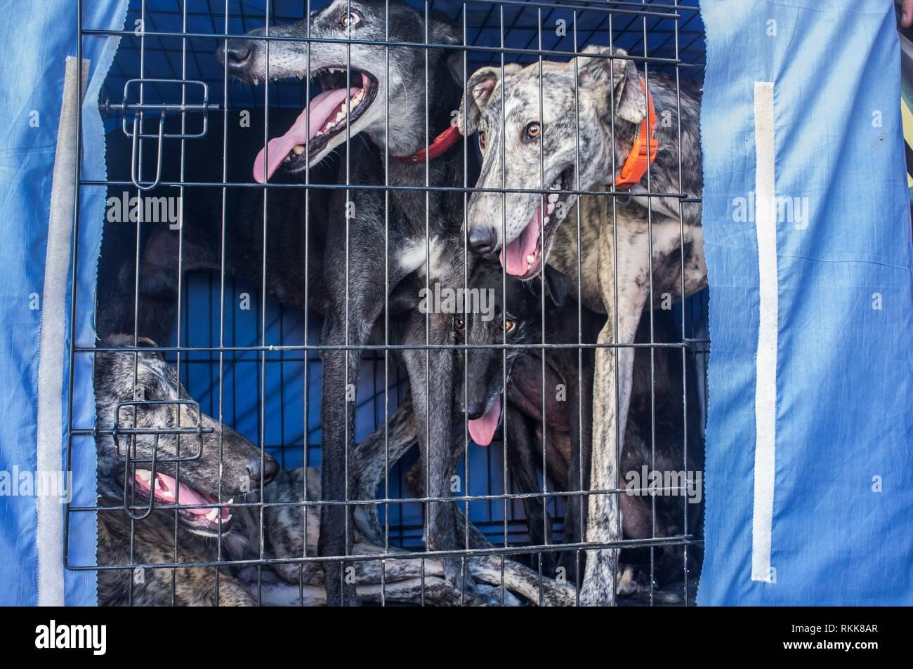 Spanish greyhound at car dog crate looking out. Closeup. - Stock Image