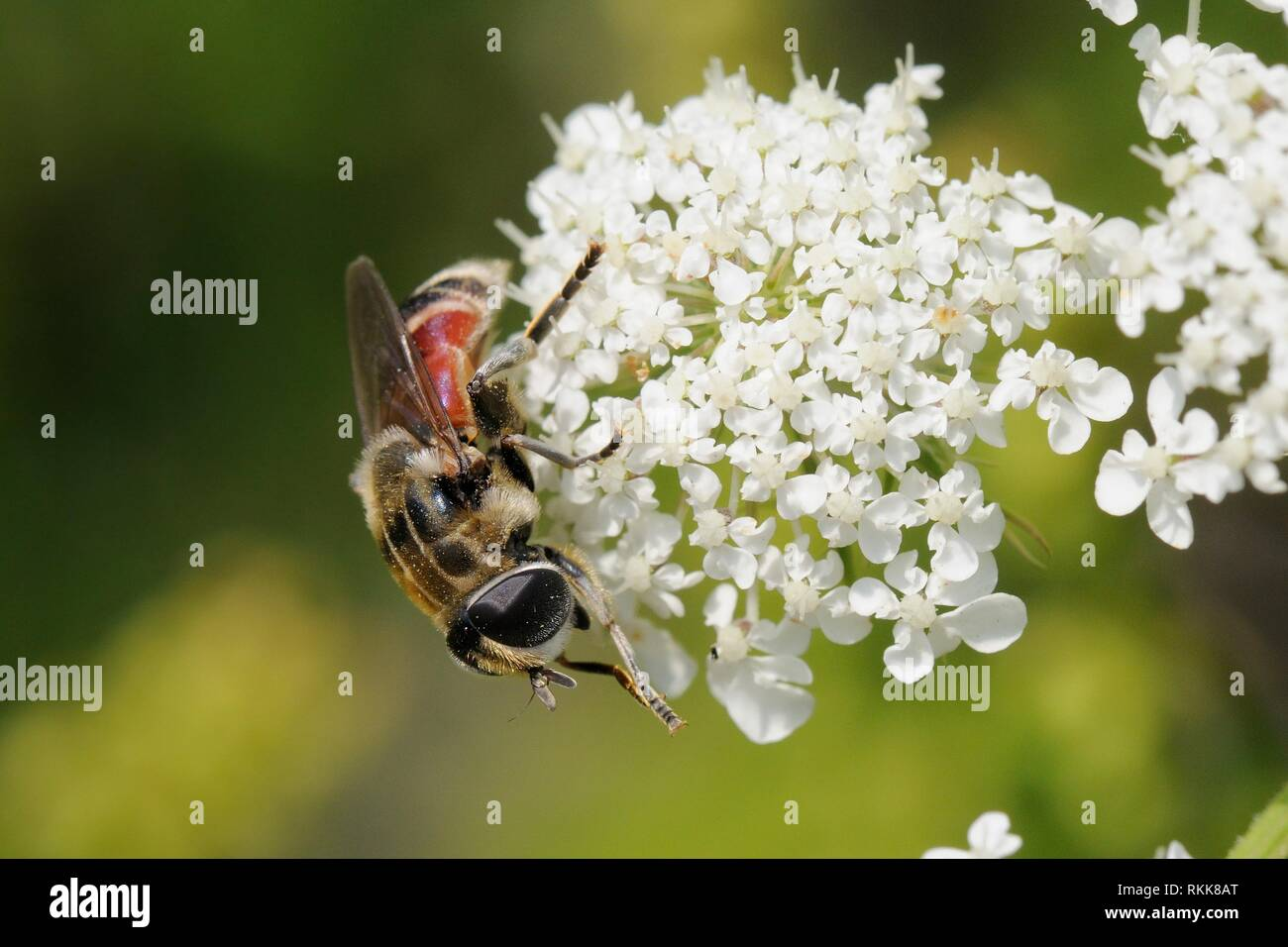 Hoverfly (Merodon avidus) feeding from Wild carrot / Queen Anne's lace (Daucus carota) flowers, Lesbos / Lesvos, Greece, May. - Stock Image