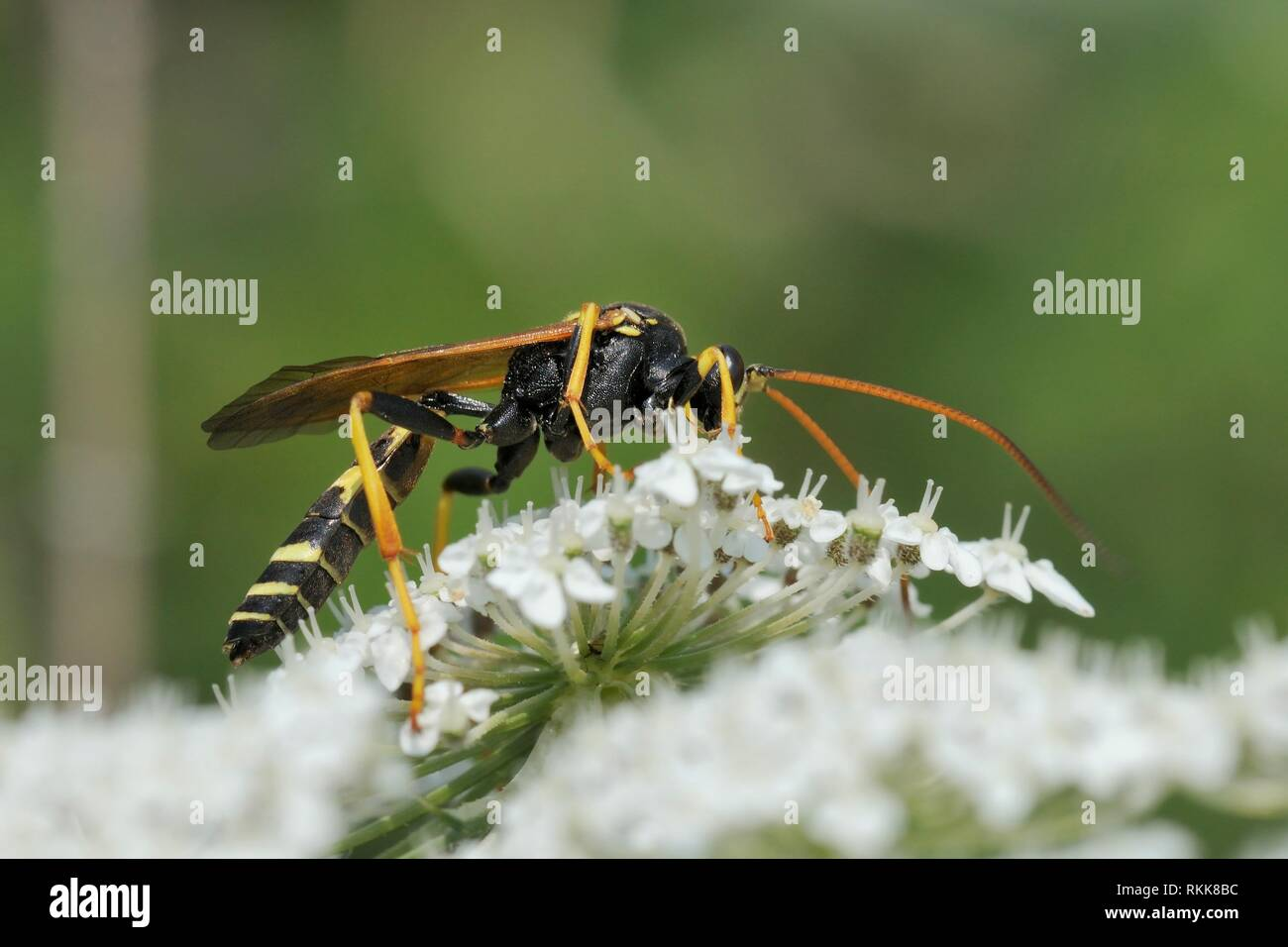 Male Ichneumon wasp (Diphyus mercatorius) feeding on Wild carrot / Queen Anne's lace (Daucus carota) flowers, Lesbos / Lesvos, Greece, June. - Stock Image