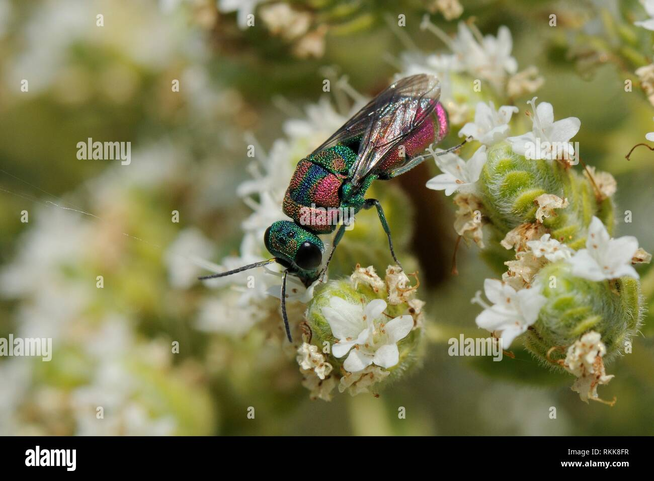 Ruby-tailed wasp / Cuckoo wasp / Jewel wasp (Pseudospinolia marqueti) feeding on Cretan oregano (Origanum onites) flowers, Lesbos / Lesvos, Greece - Stock Image