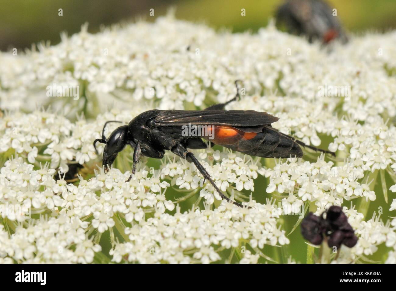 Spider wasp (Entomobora vomeriventris)  feeding on Wild carrot / Queen Anne's lace (Daucus carota) flowers, Lesbos / Lesvos, Greece, May. - Stock Image