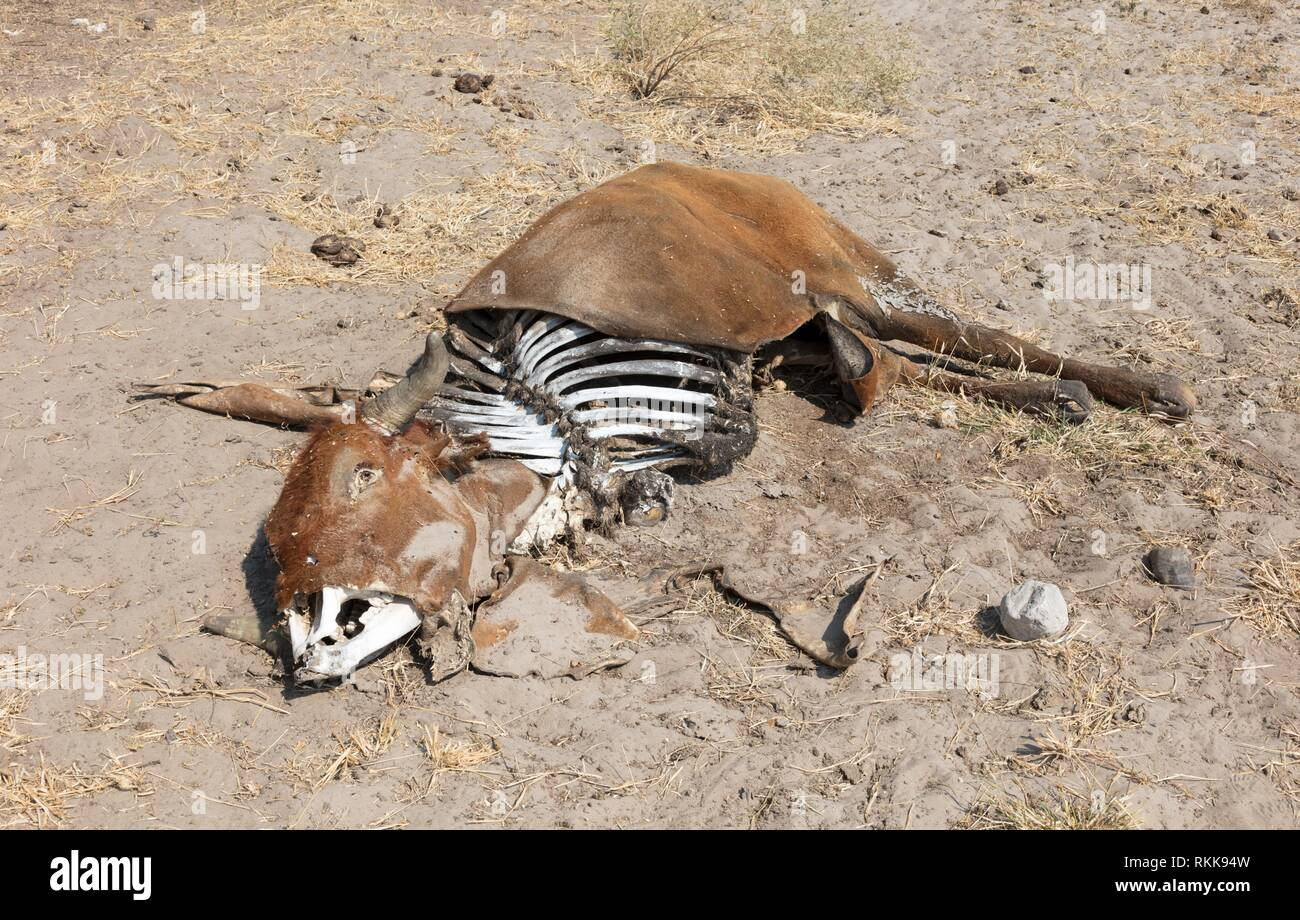 Dead cow medium close up, cause of death unknown - Botswana. - Stock Image