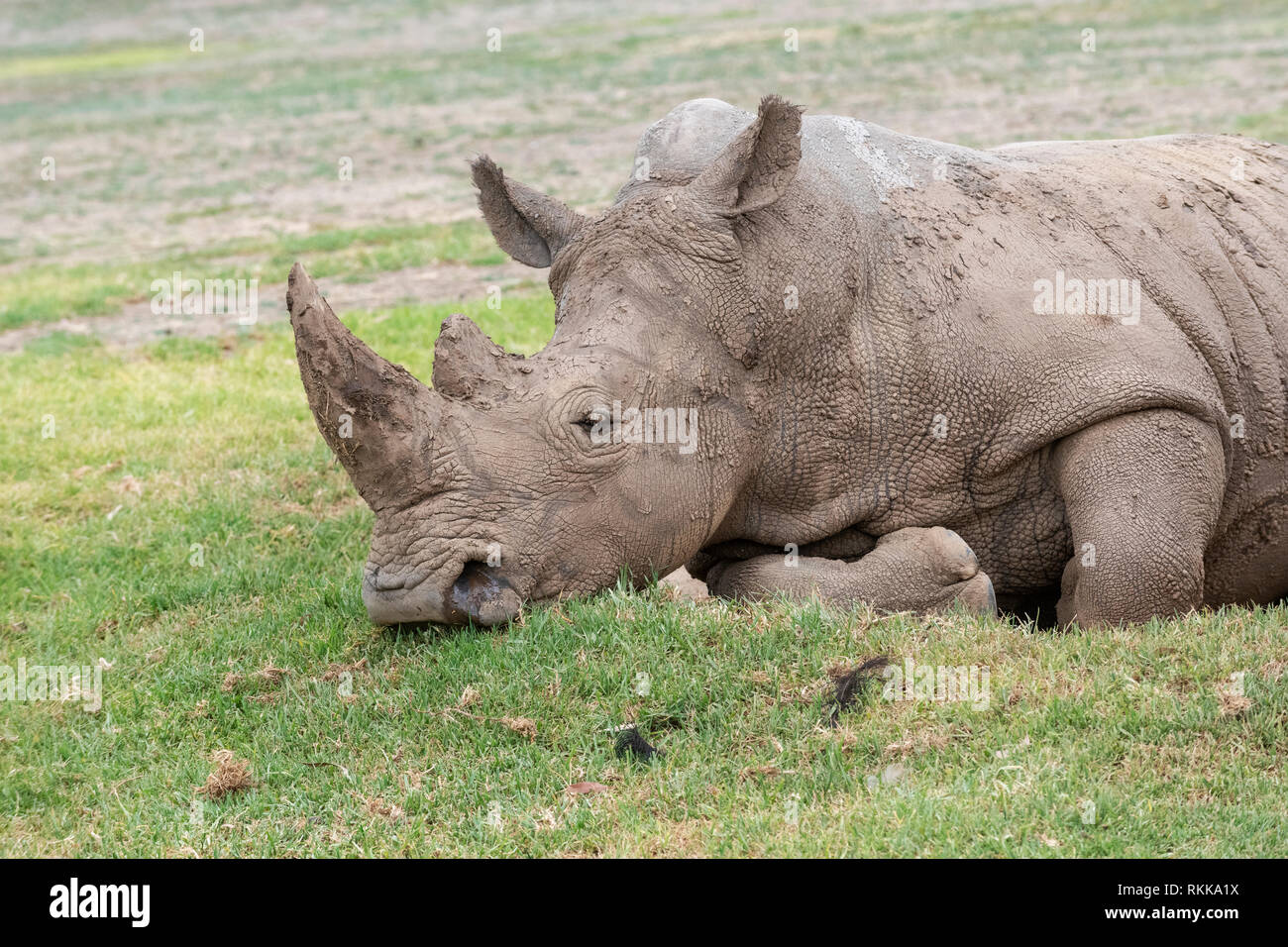 A white rhino resting at the Werribee Open Range Zoo.  The species is considered near threatened. - Stock Image
