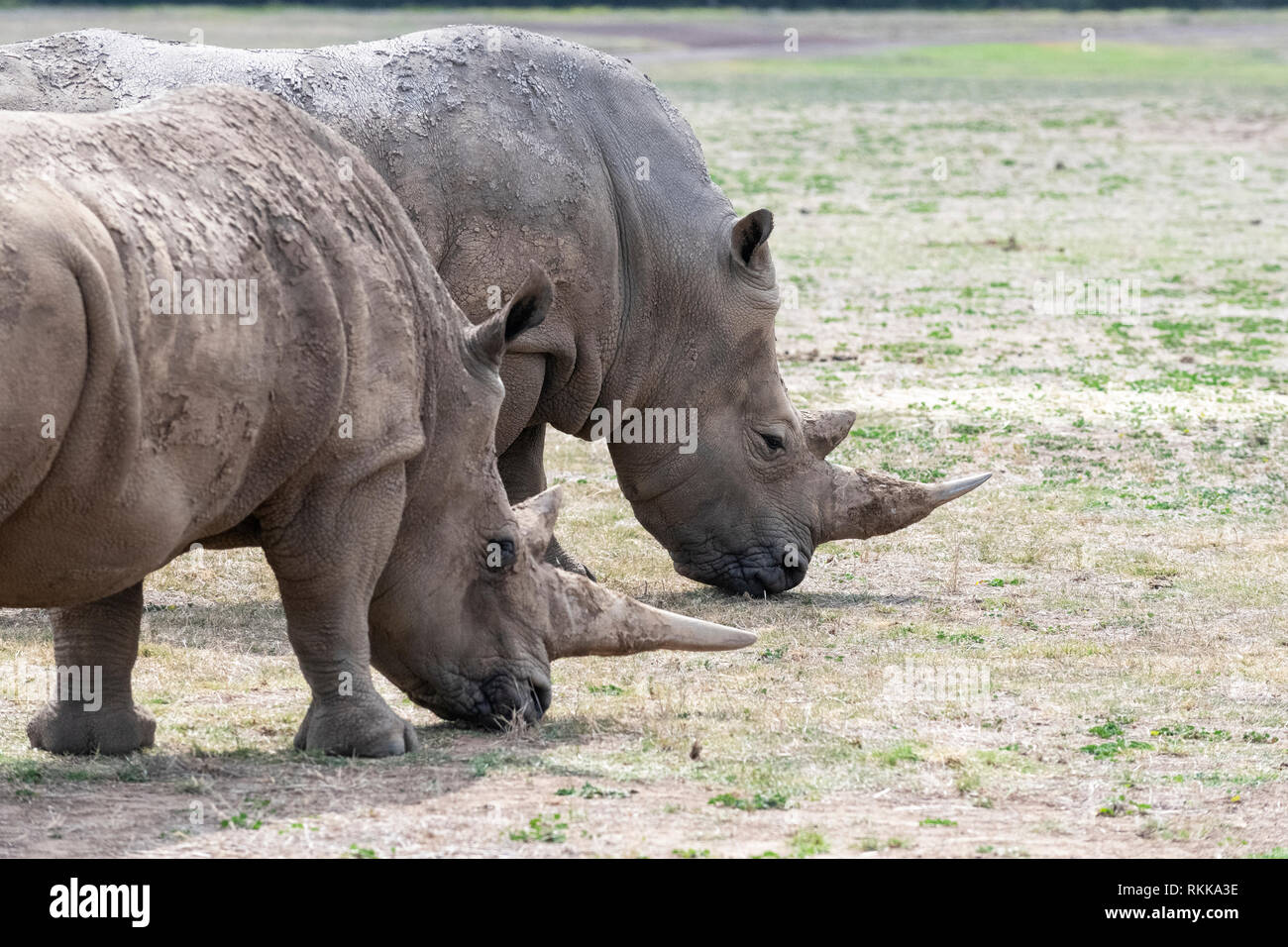 White rhinos at the Werribee Open Range Zoo.  The species is considered near threatened. - Stock Image