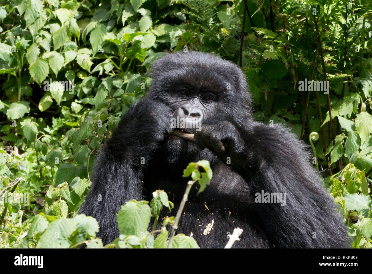 Young Gorilla feeding in the wild, Virunga National Park, Rwanda. - Stock Image