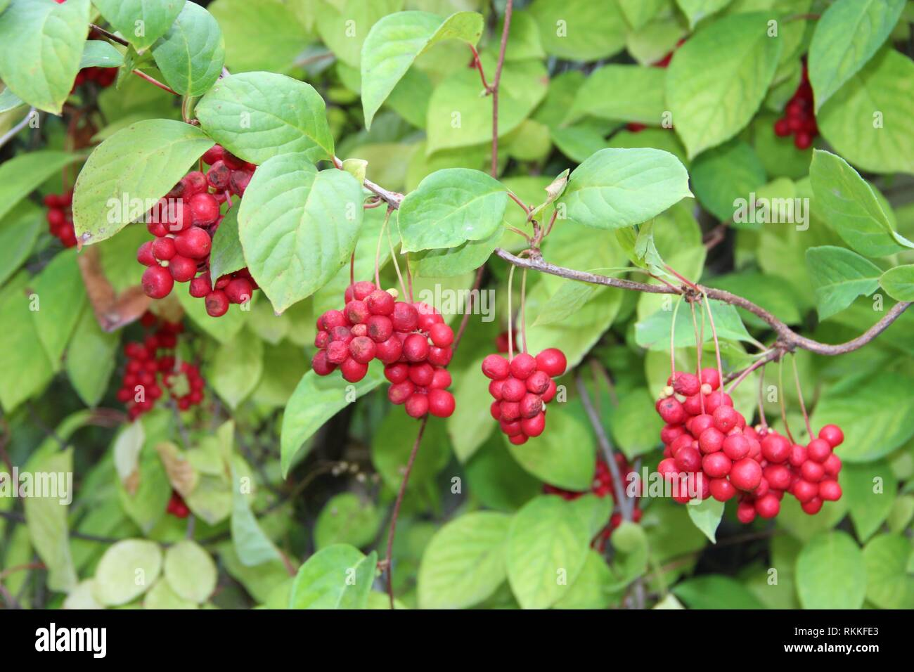 Branches of red schisandrahanging in row. Clusters of ripe schizandra. Crop of useful plant. Red schizandra hang in row on green branch. Schizandra Stock Photo