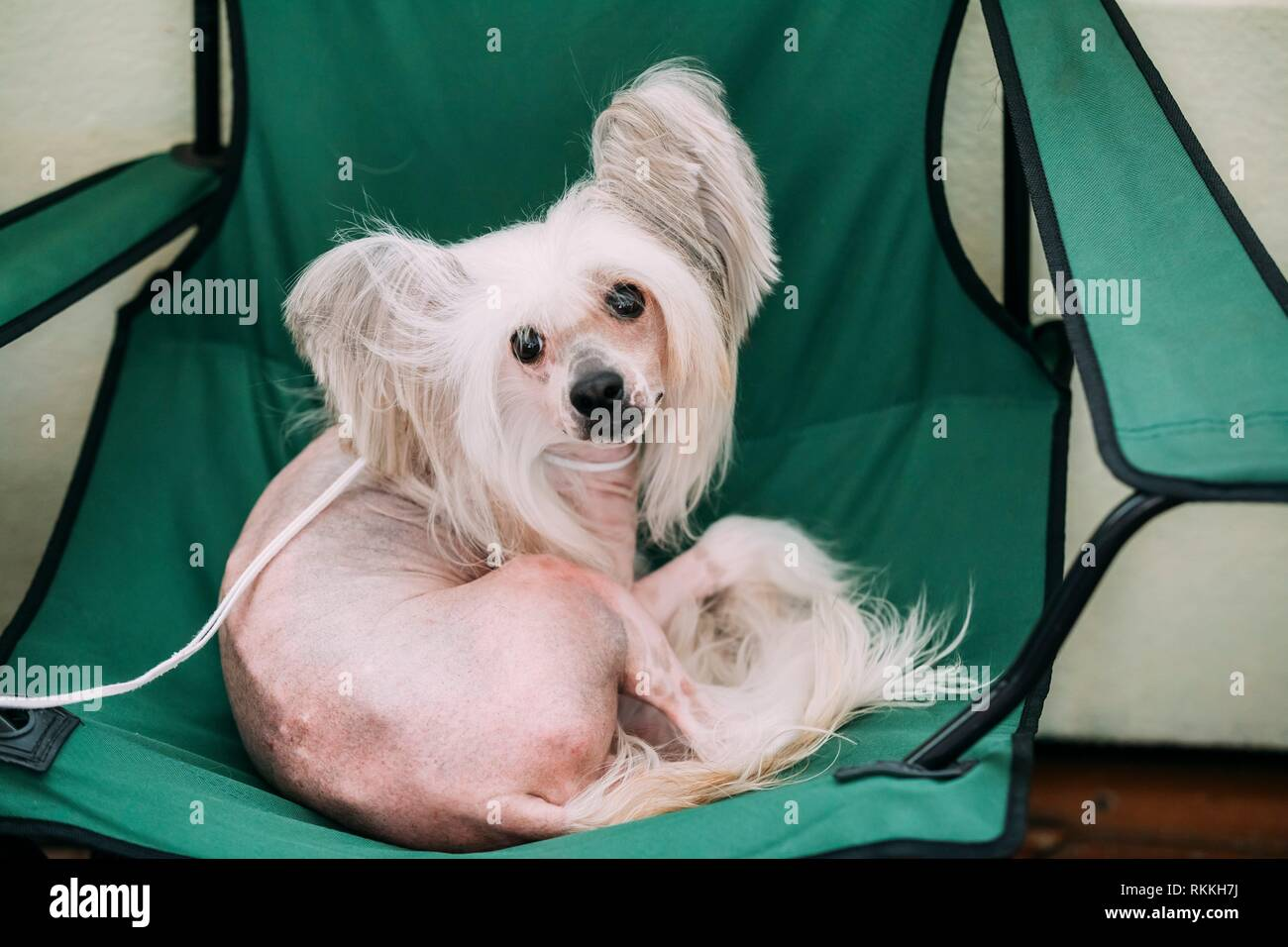 Young White Chinese Crested Dog Sit in Chair. Hairless breed of dog. Light skin. - Stock Image