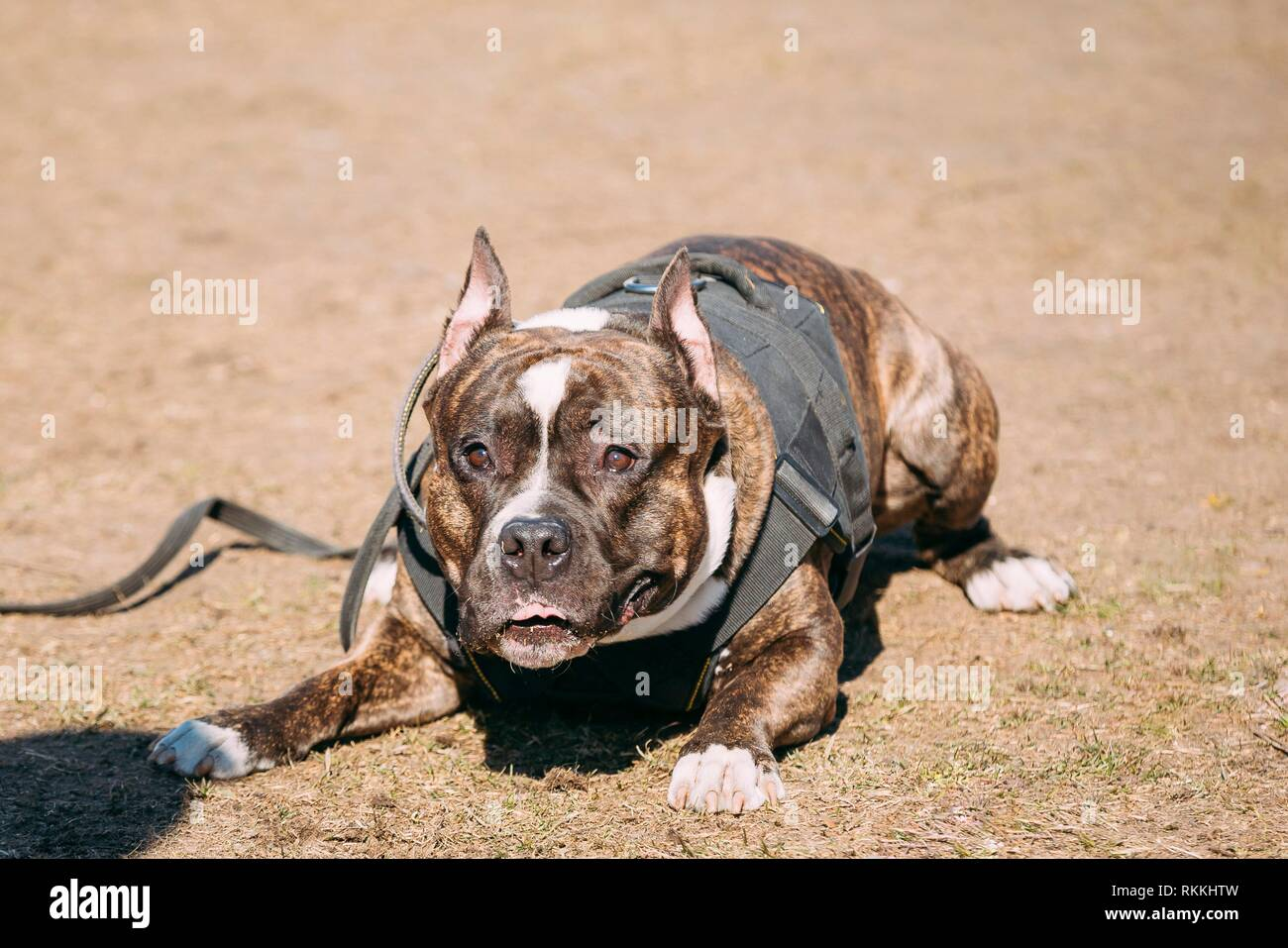 Dog American Staffordshire Terrier On Training Outdoor. - Stock Image