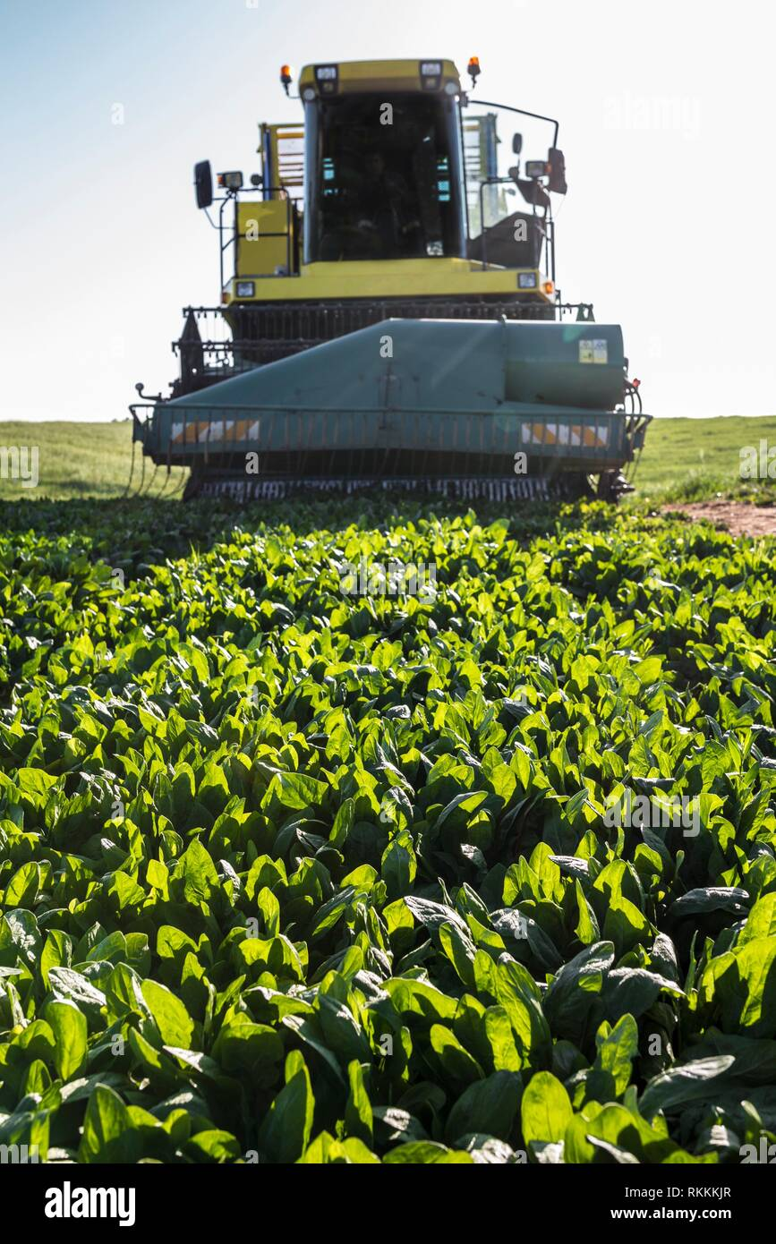 Modern self-propelled spinach harvester at work. Guadiana meadows, Badajoz, Spain. Closeup. - Stock Image