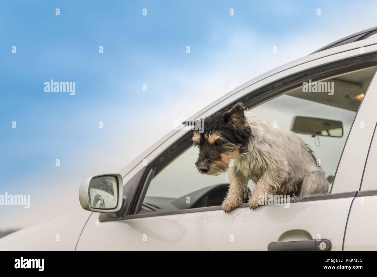 Small dog is sitting in a car and looking out of the car window - jack russell terrier 2 years old - Stock Image