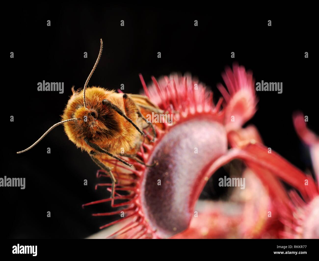 A moth is caught in a bright red carnivorous Venus Fly Trap plant, set against a black background. Stock Photo