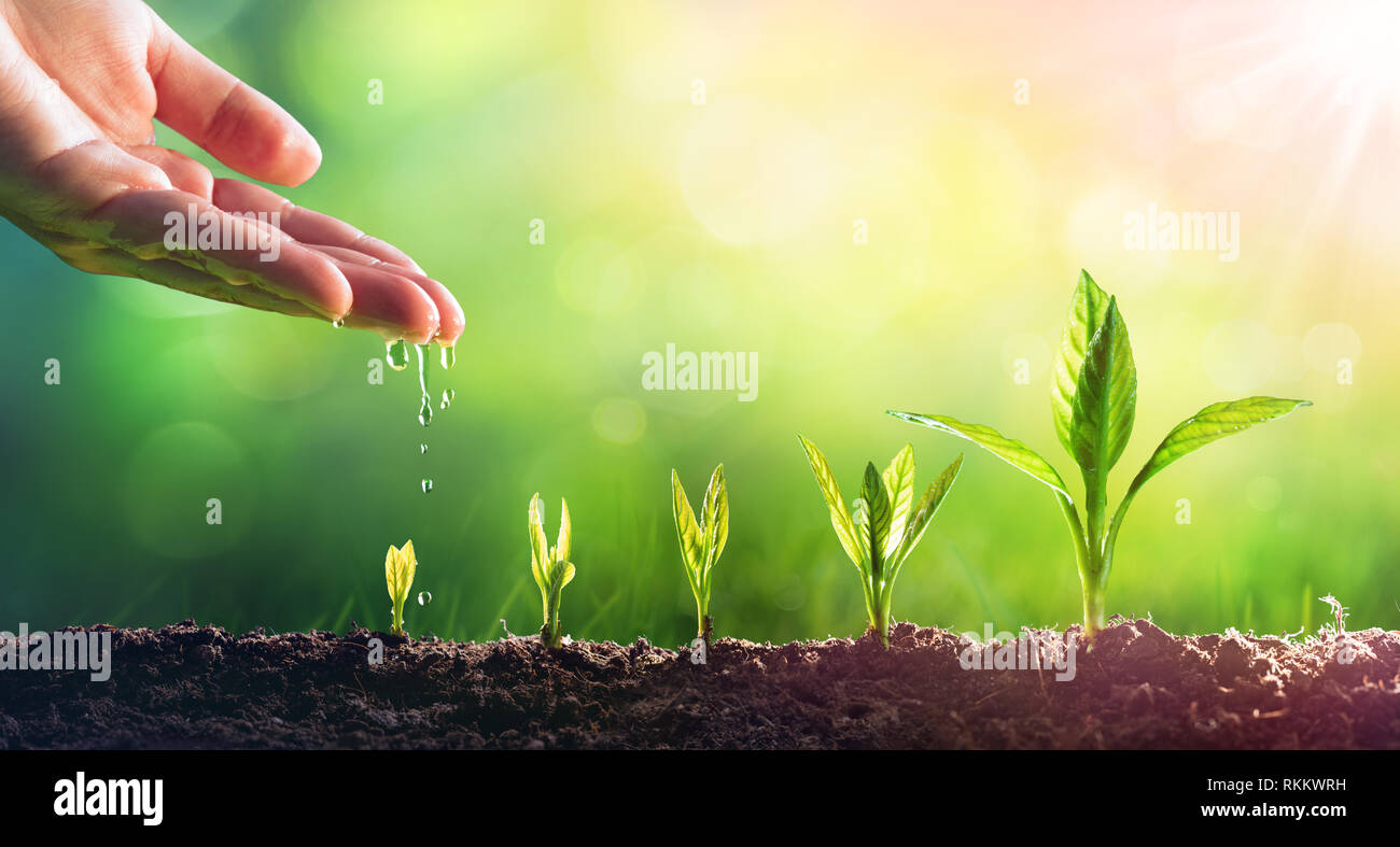 Hand Watering Young Plants In Growing - Stock Image