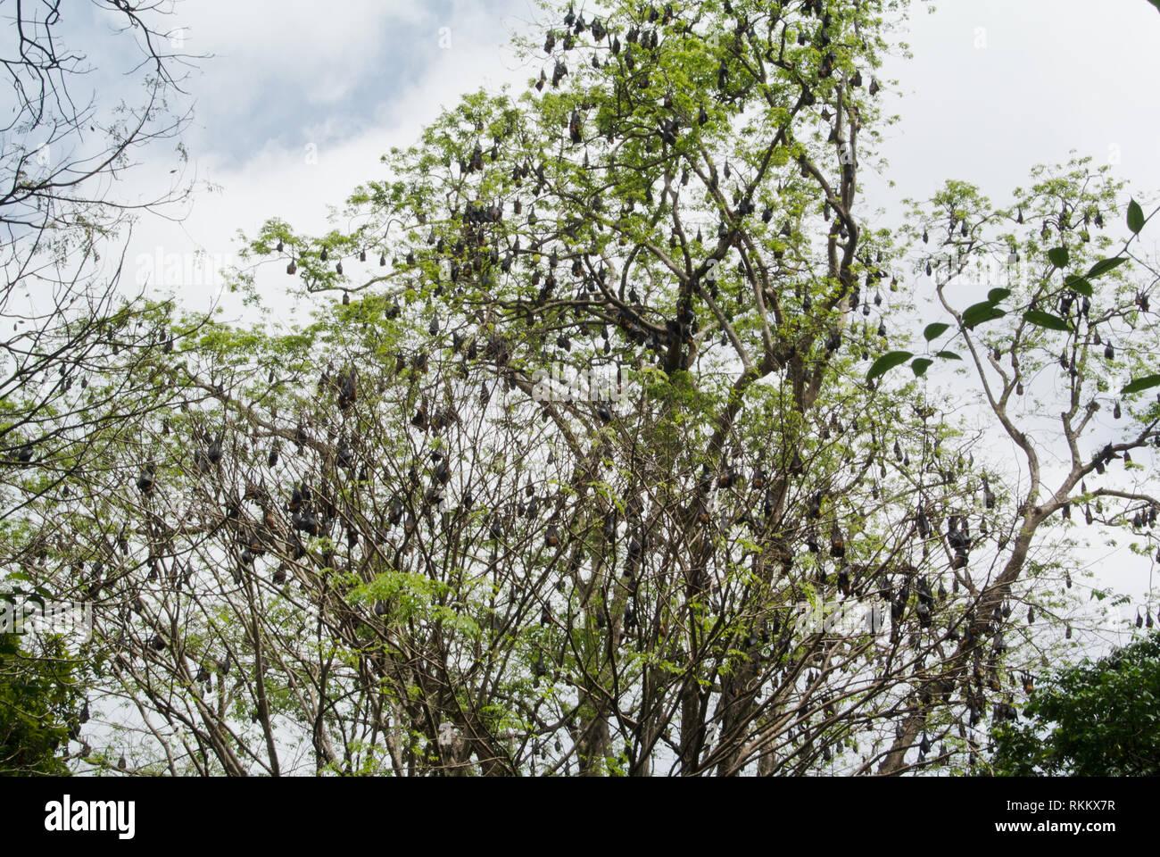 Fruit Bats in the Royal Botanical Gardens, Kandy, Sri Lanka Stock Photo
