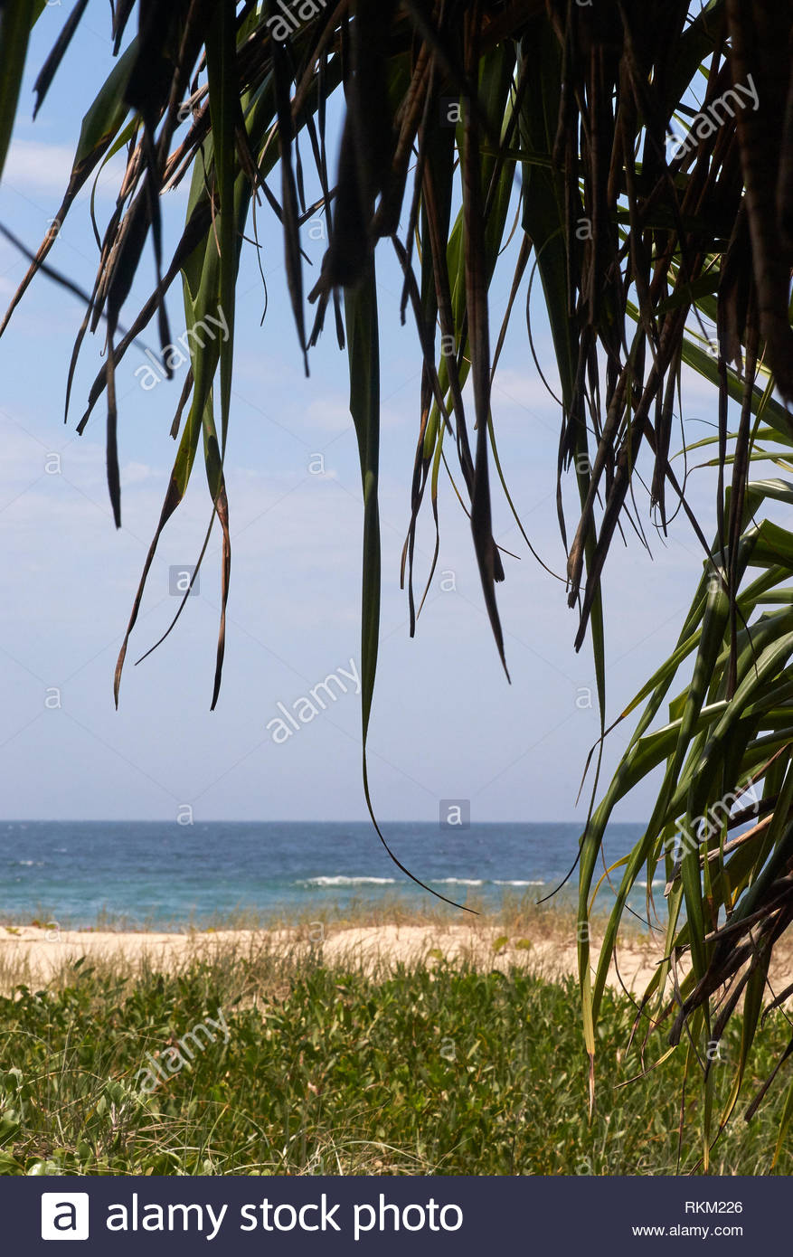 A view of the Pacific Ocean, taken north of Iluka, NSW, Australia; bordered by a Pandanus tree / Screw Pine, beach, dunes, sky and vegetation as well. - Stock Image