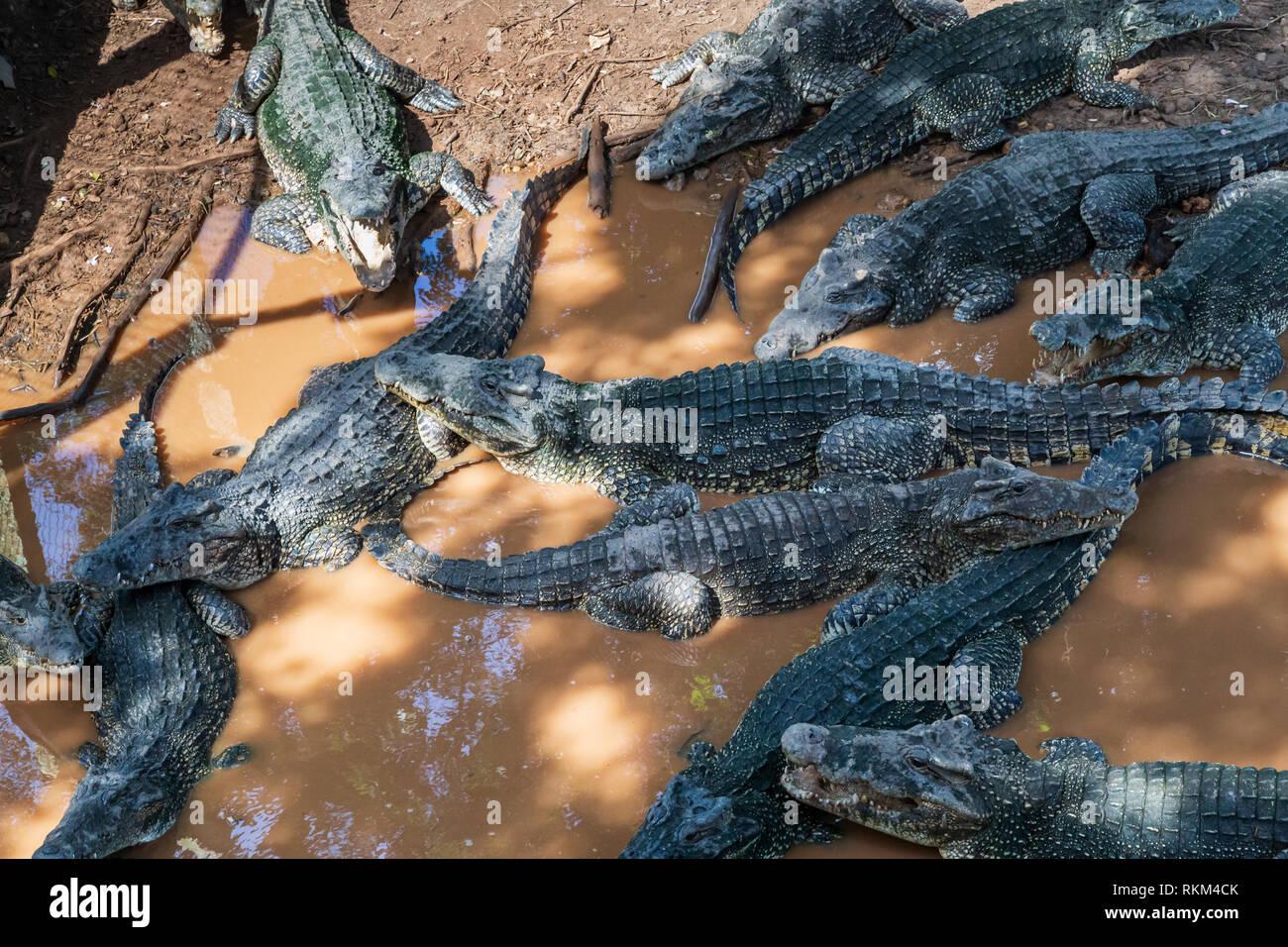 American crocodiles (Crocodylus acutus) at the Cuban crocodile farm Criadero de Cocodrilos in Cuba - Stock Image